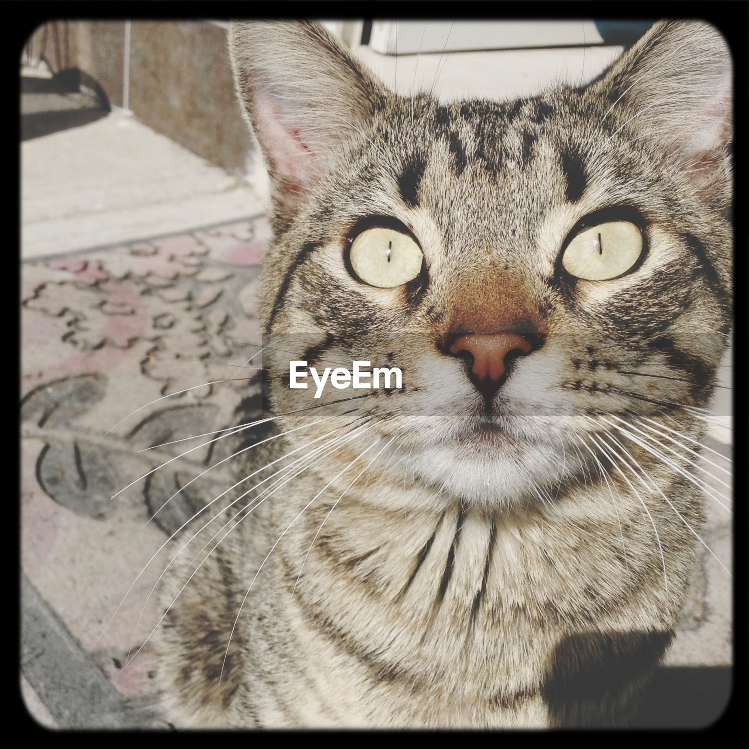 domestic cat, cat, one animal, pets, animal themes, domestic animals, feline, transfer print, whisker, mammal, portrait, looking at camera, auto post production filter, indoors, close-up, animal head, animal eye, relaxation, staring, front view