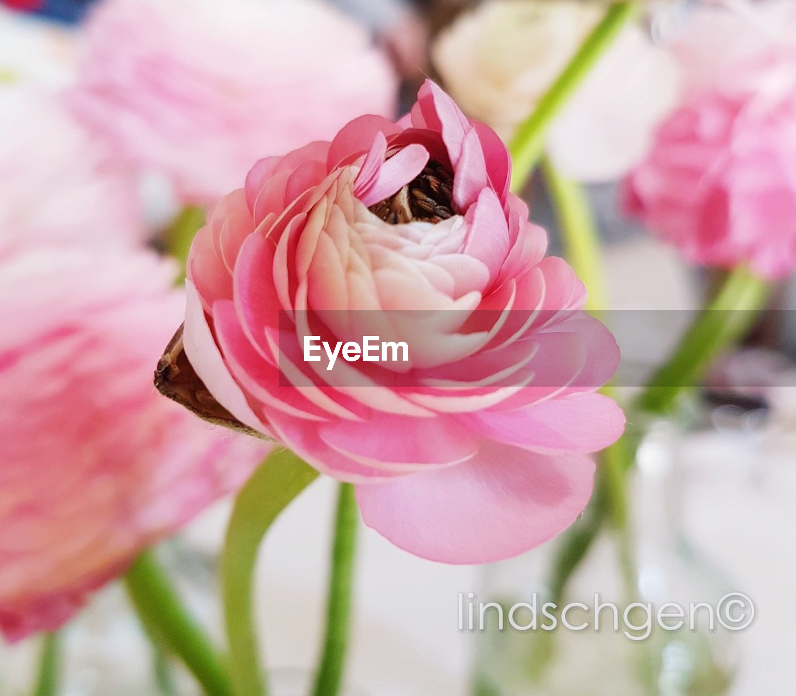 flower, flowering plant, beauty in nature, fragility, pink color, freshness, vulnerability, plant, petal, flower head, close-up, inflorescence, growth, nature, focus on foreground, no people, insect, invertebrate, animal wildlife, rose, pollination