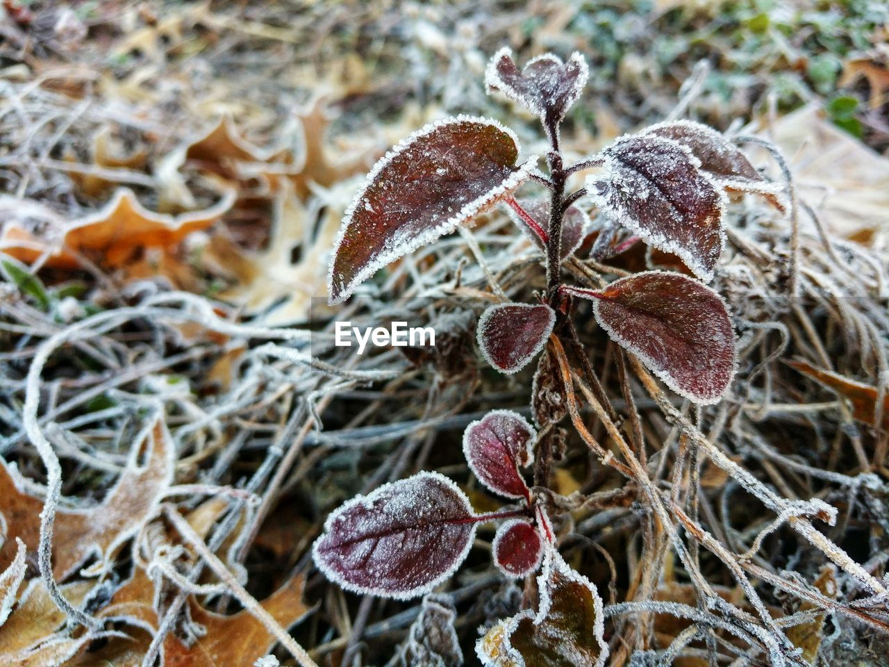 plant, close-up, growth, nature, beauty in nature, winter, no people, day, dry, frost, cold temperature, focus on foreground, frozen, leaf, plant part, twig, fragility, vulnerability, land, outdoors, ice, wilted plant, leaves
