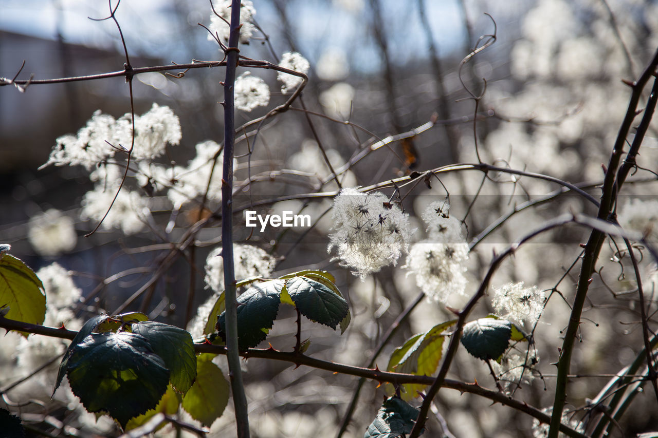 CLOSE-UP OF WHITE FLOWERING PLANTS ON BRANCH