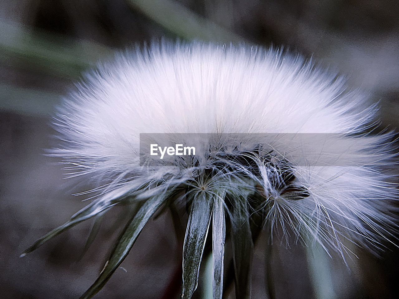 vulnerability, fragility, close-up, flower, flowering plant, dandelion, beauty in nature, focus on foreground, plant, white color, no people, growth, freshness, inflorescence, softness, flower head, nature, day, outdoors, dandelion seed
