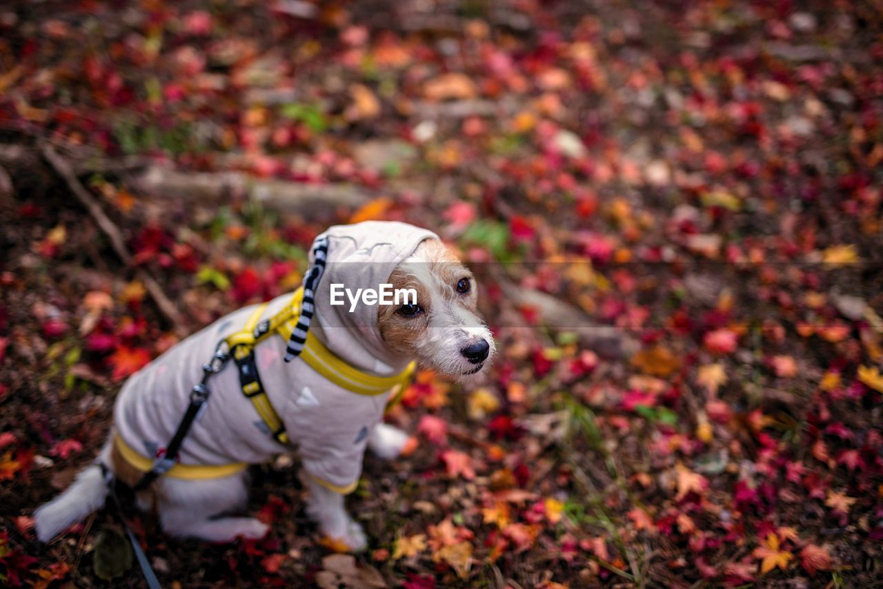 High Angle View Of Dog During Autumn