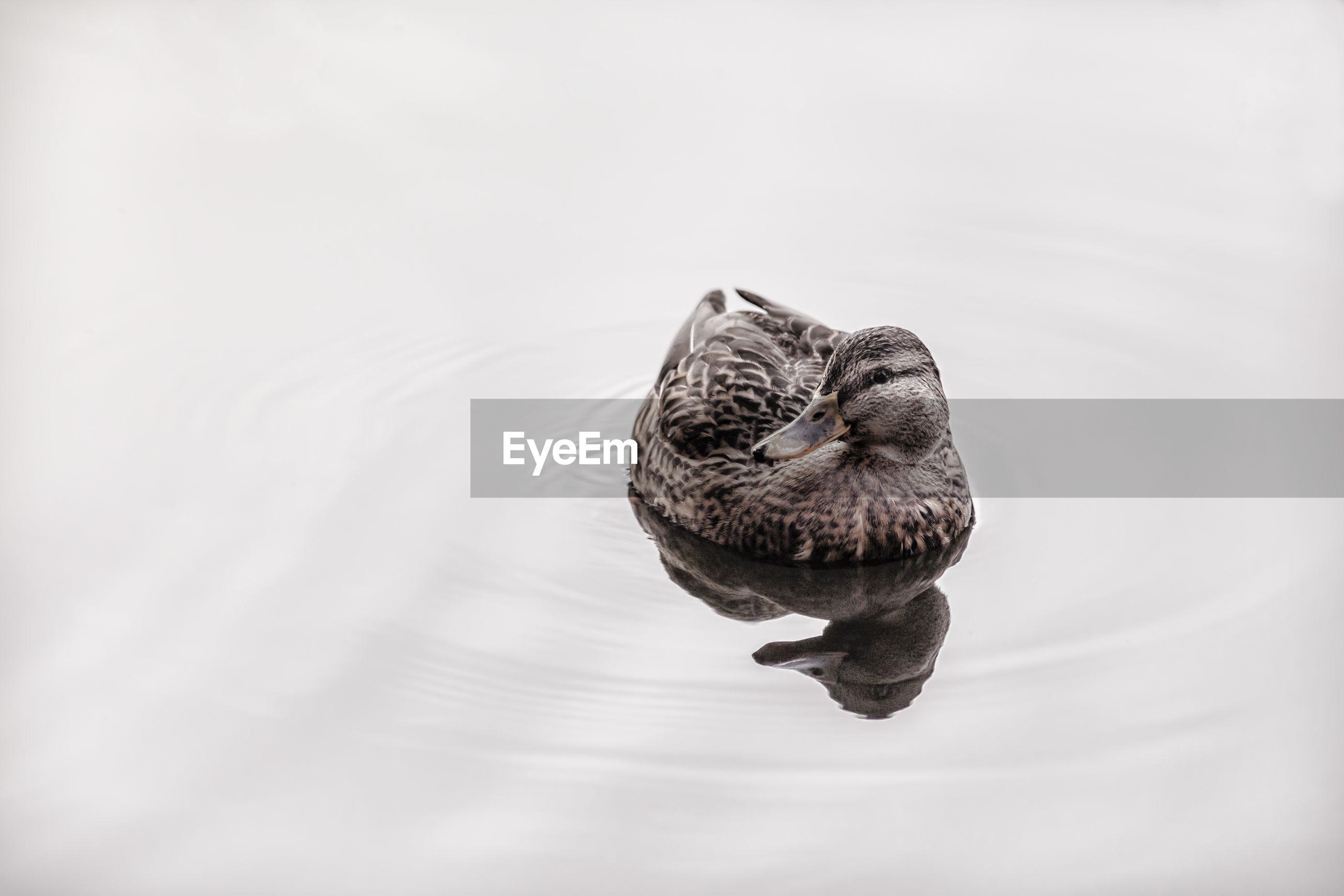 CLOSE-UP OF TURTLE SWIMMING ON LAKE