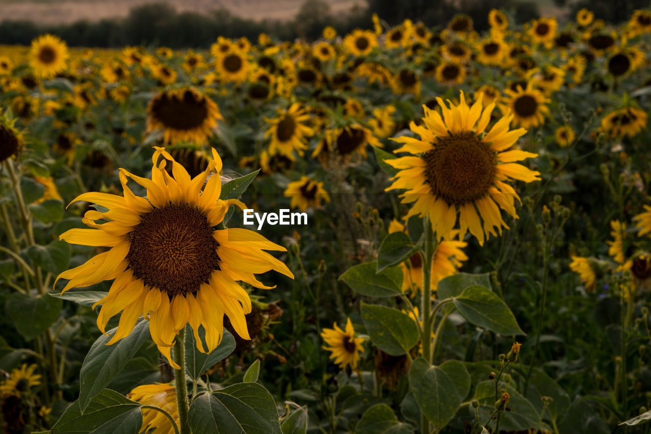 CLOSE-UP OF SUNFLOWERS ON FIELD