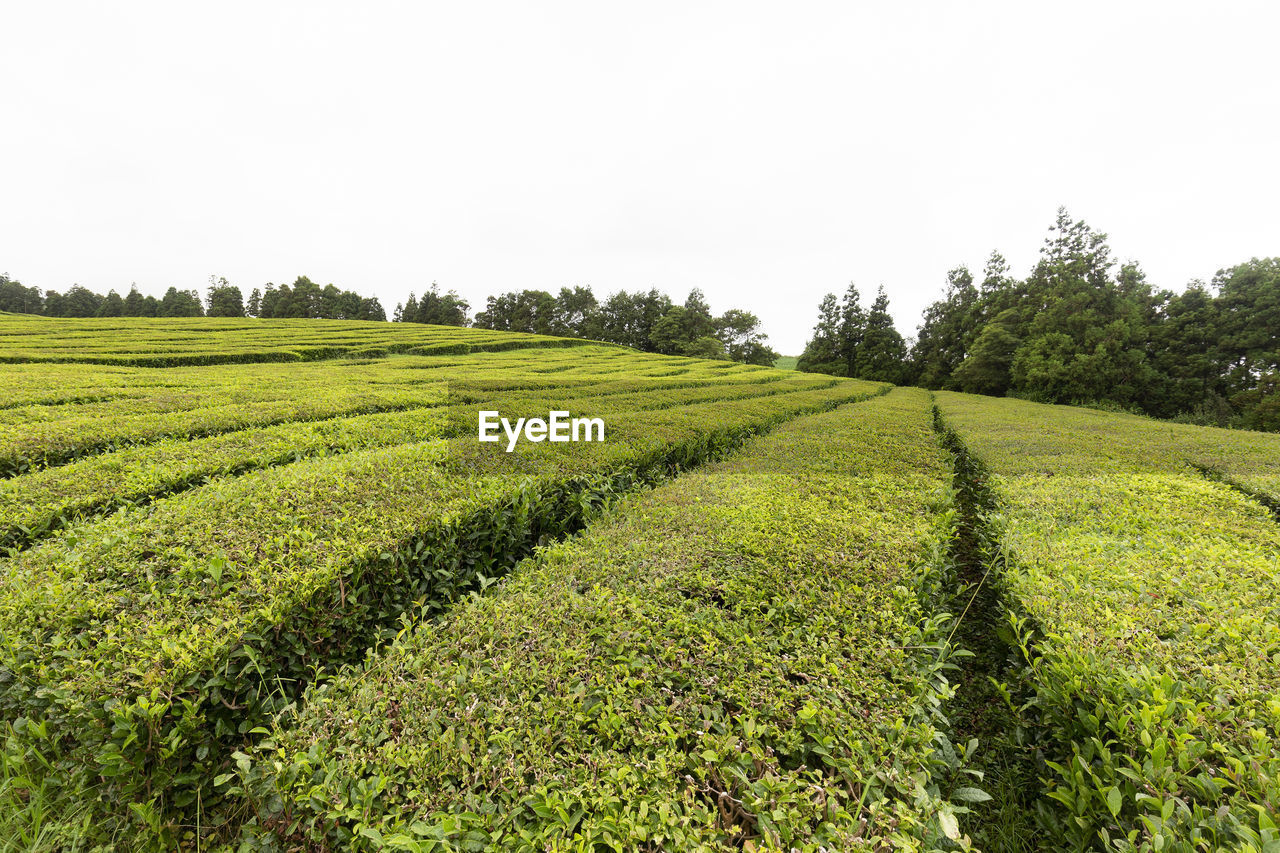 plant, growth, field, green color, landscape, sky, tranquility, land, environment, tranquil scene, scenics - nature, beauty in nature, agriculture, tree, rural scene, no people, clear sky, nature, copy space, day, outdoors, tea crop, plantation