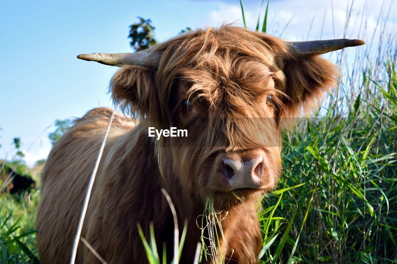 mammal, animal themes, domestic animals, domestic, pets, brown, livestock, animal, field, one animal, cattle, land, grass, plant, vertebrate, close-up, nature, domestic cattle, horned, animal hair, no people, herbivorous, outdoors, animal head
