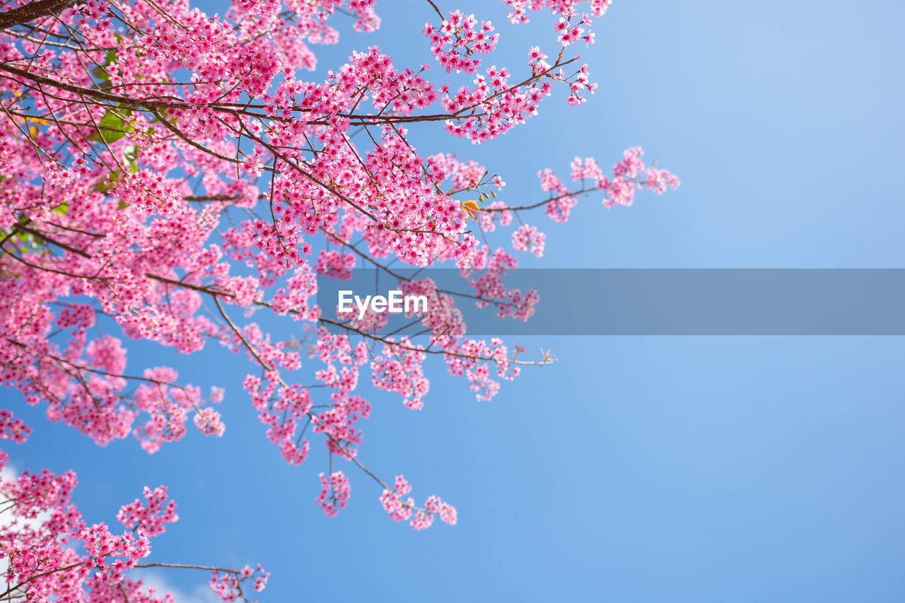 pink color, plant, sky, low angle view, beauty in nature, tree, flowering plant, flower, fragility, branch, growth, blossom, springtime, nature, clear sky, cherry blossom, freshness, no people, vulnerability, blue, cherry tree, outdoors, spring