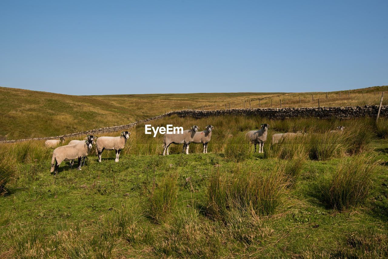 sky, field, domestic animals, land, group of animals, mammal, animal, grass, plant, domestic, livestock, animal themes, clear sky, landscape, environment, pets, nature, vertebrate, copy space, tranquil scene, no people, herbivorous, outdoors