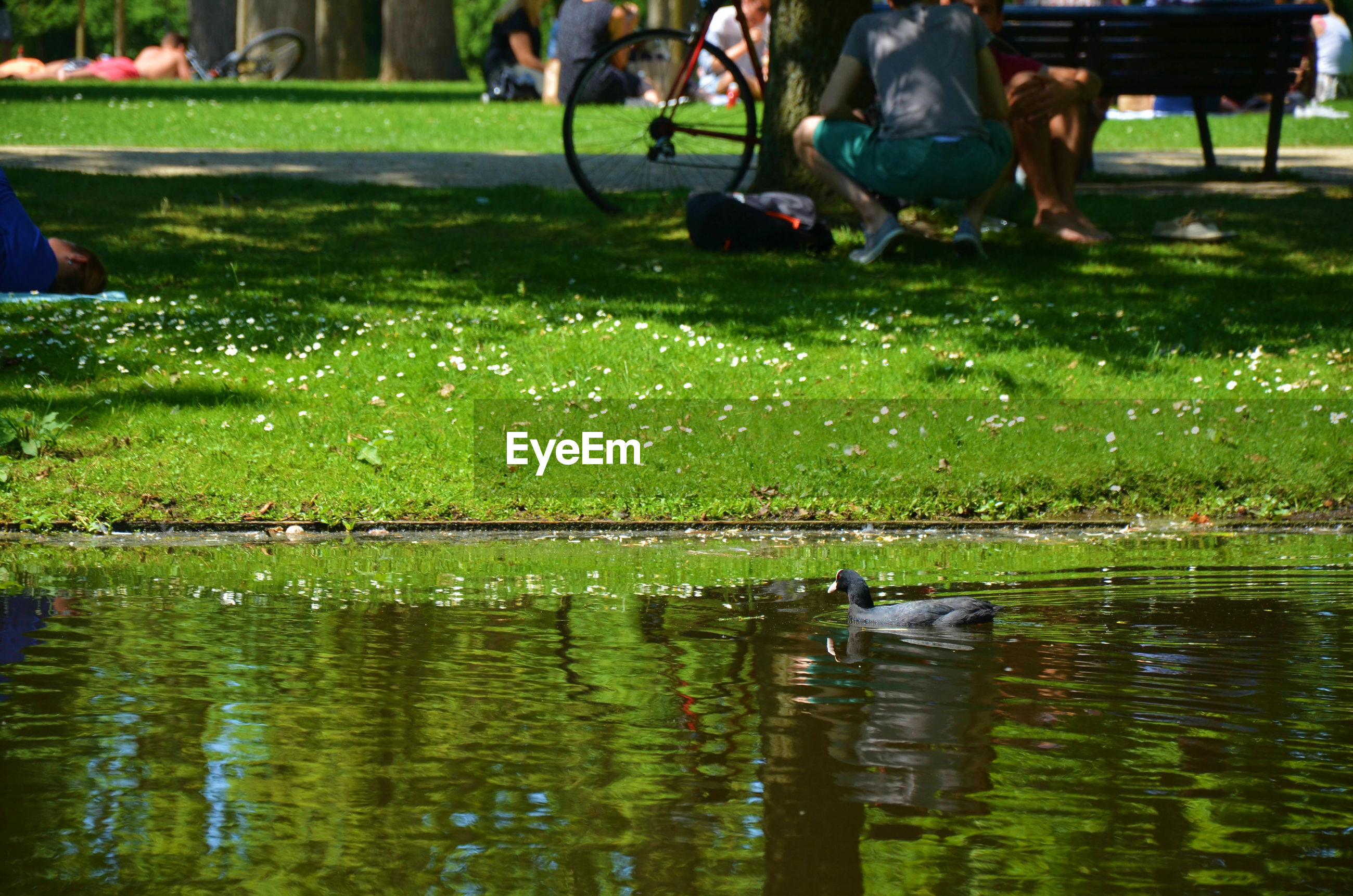 Coot swimming in pond with man crouching in background