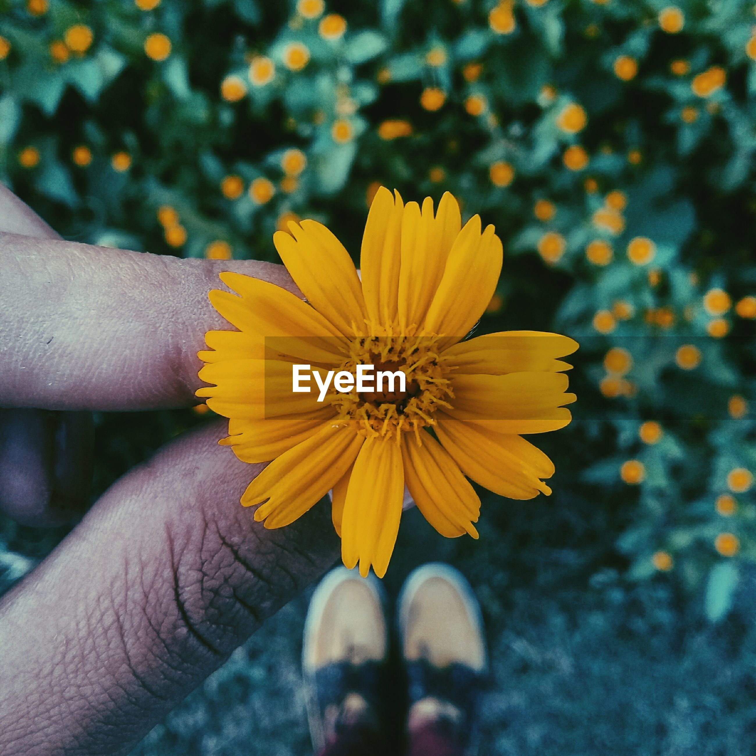 flower, person, petal, holding, yellow, flower head, freshness, part of, focus on foreground, fragility, cropped, unrecognizable person, close-up, human finger, personal perspective, single flower, pollen