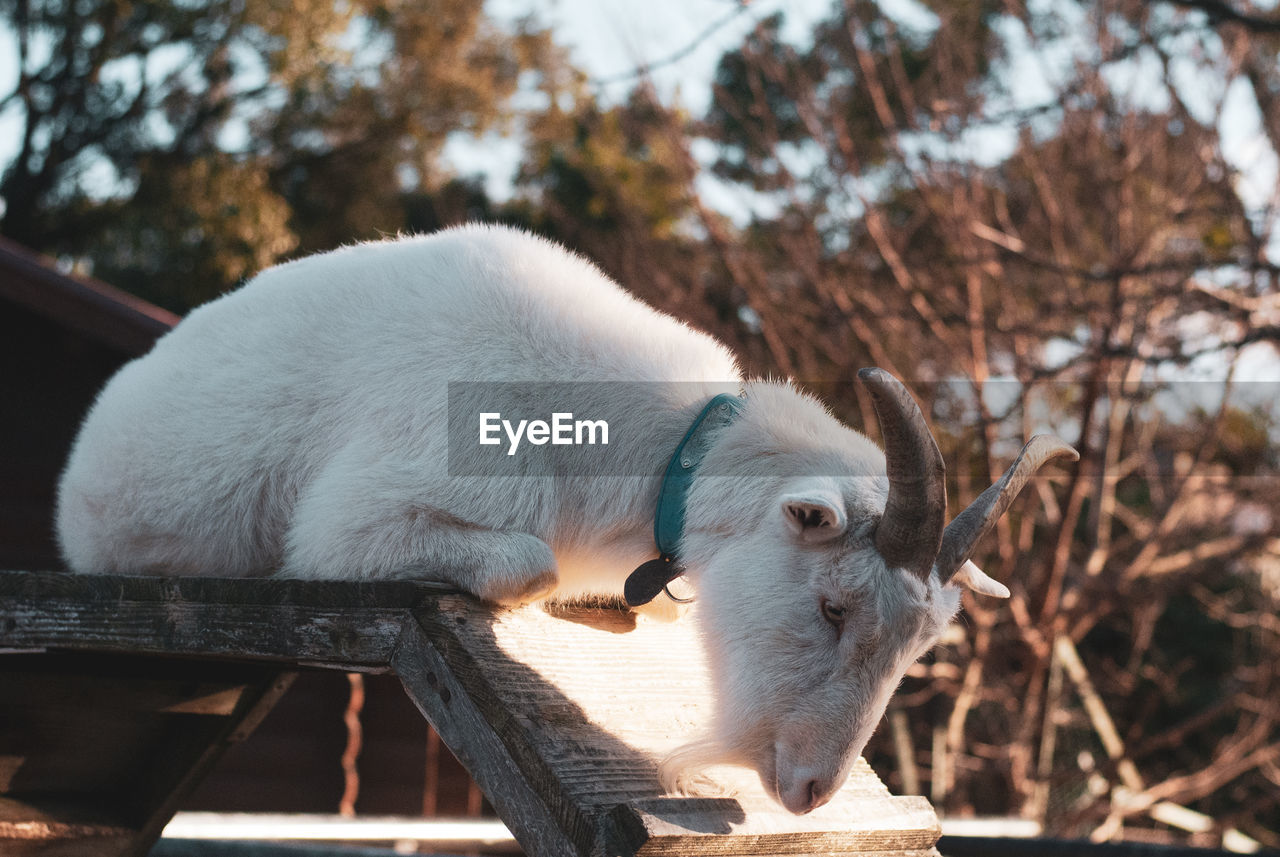 mammal, animal, animal themes, one animal, domestic animals, domestic, pets, vertebrate, nature, white color, no people, focus on foreground, day, tree, close-up, livestock, animal wildlife, plant, outdoors, canine, herbivorous, animal head