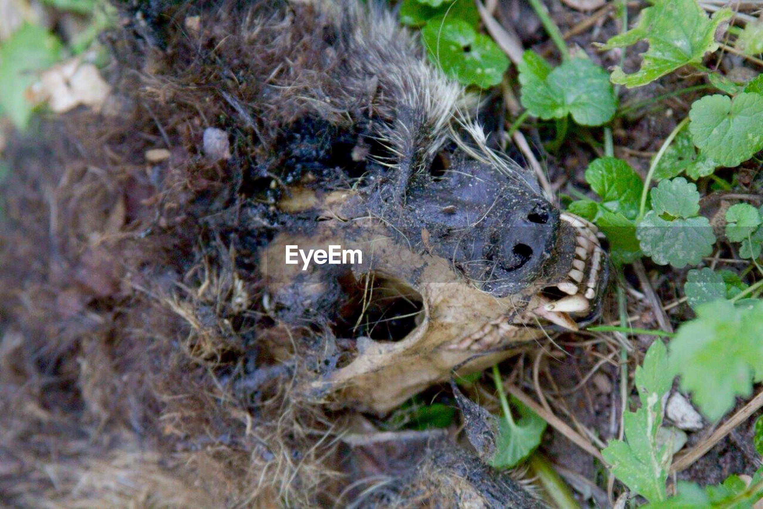 Close-up of marten skull on field