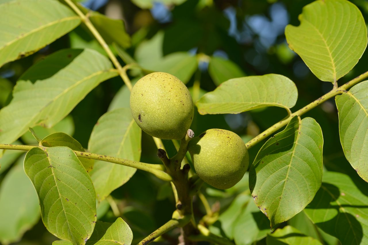 fruit, growth, healthy eating, food, leaf, food and drink, plant part, green color, plant, freshness, close-up, wellbeing, tree, no people, focus on foreground, nature, day, fruit tree, beauty in nature, outdoors, ripe