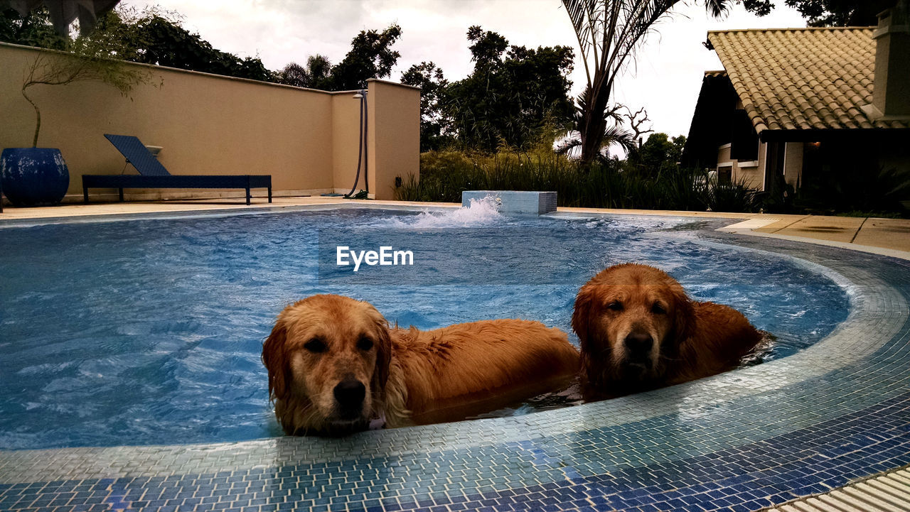 canine, dog, pets, domestic, mammal, animal themes, animal, domestic animals, one animal, vertebrate, architecture, swimming pool, built structure, relaxation, pool, tree, building exterior, water, house, no people