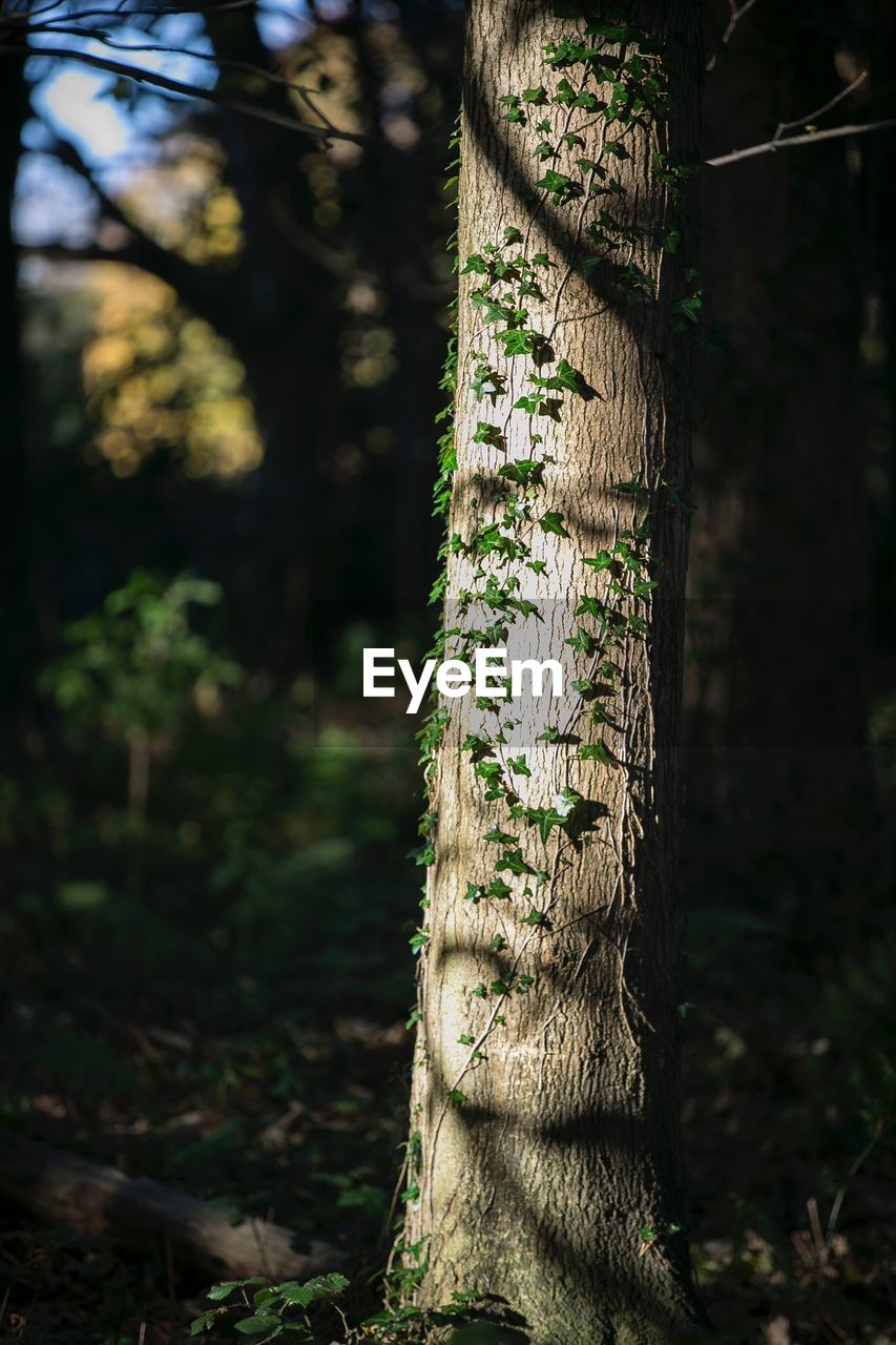tree, plant, trunk, land, tree trunk, focus on foreground, forest, nature, tranquility, no people, growth, beauty in nature, day, outdoors, sunlight, green color, close-up, field, tranquil scene, woodland
