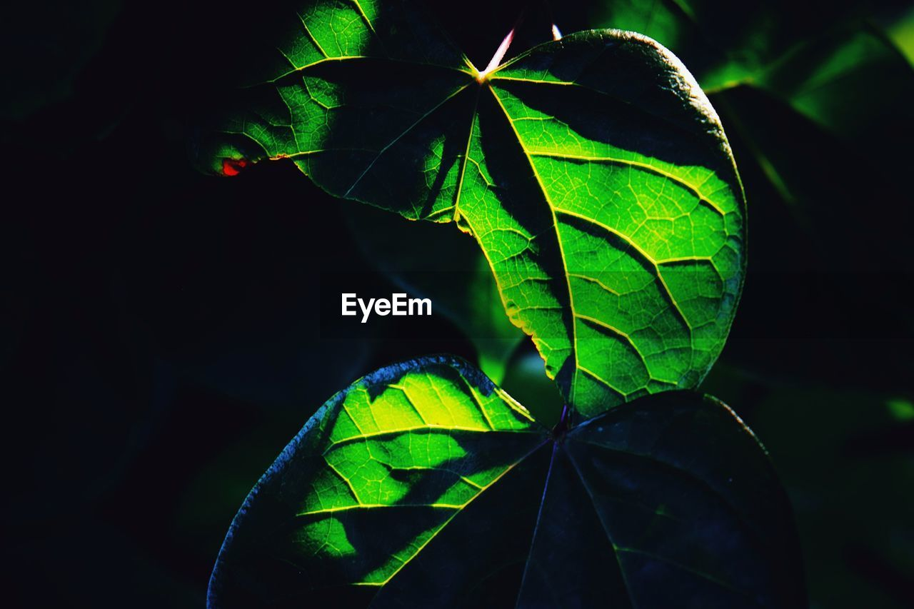 leaf, green color, growth, close-up, nature, no people, plant, beauty in nature, day, outdoors, fragility, freshness