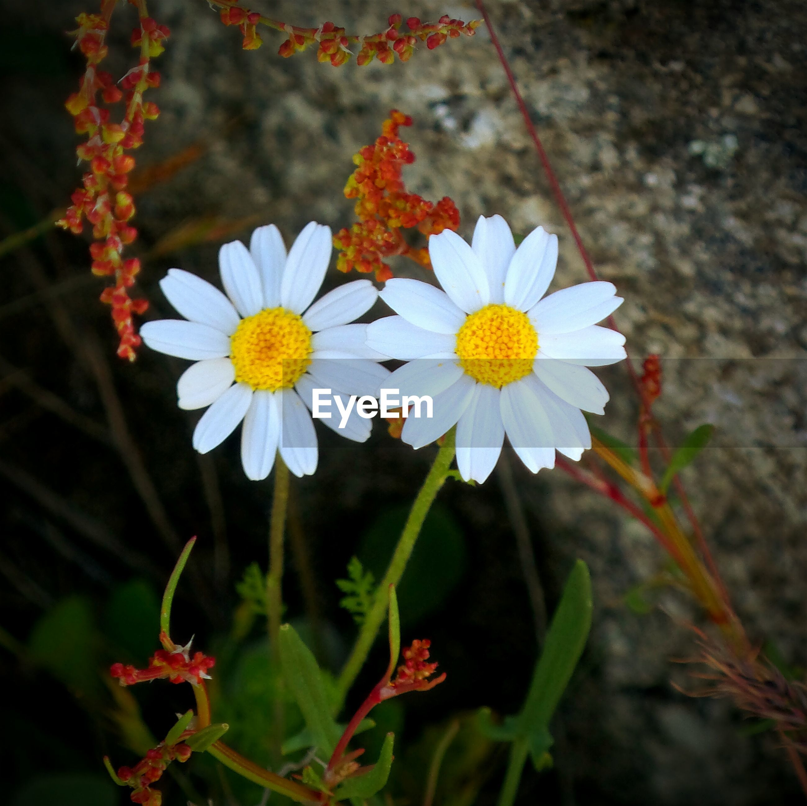 High angle view of daisies blooming against wall