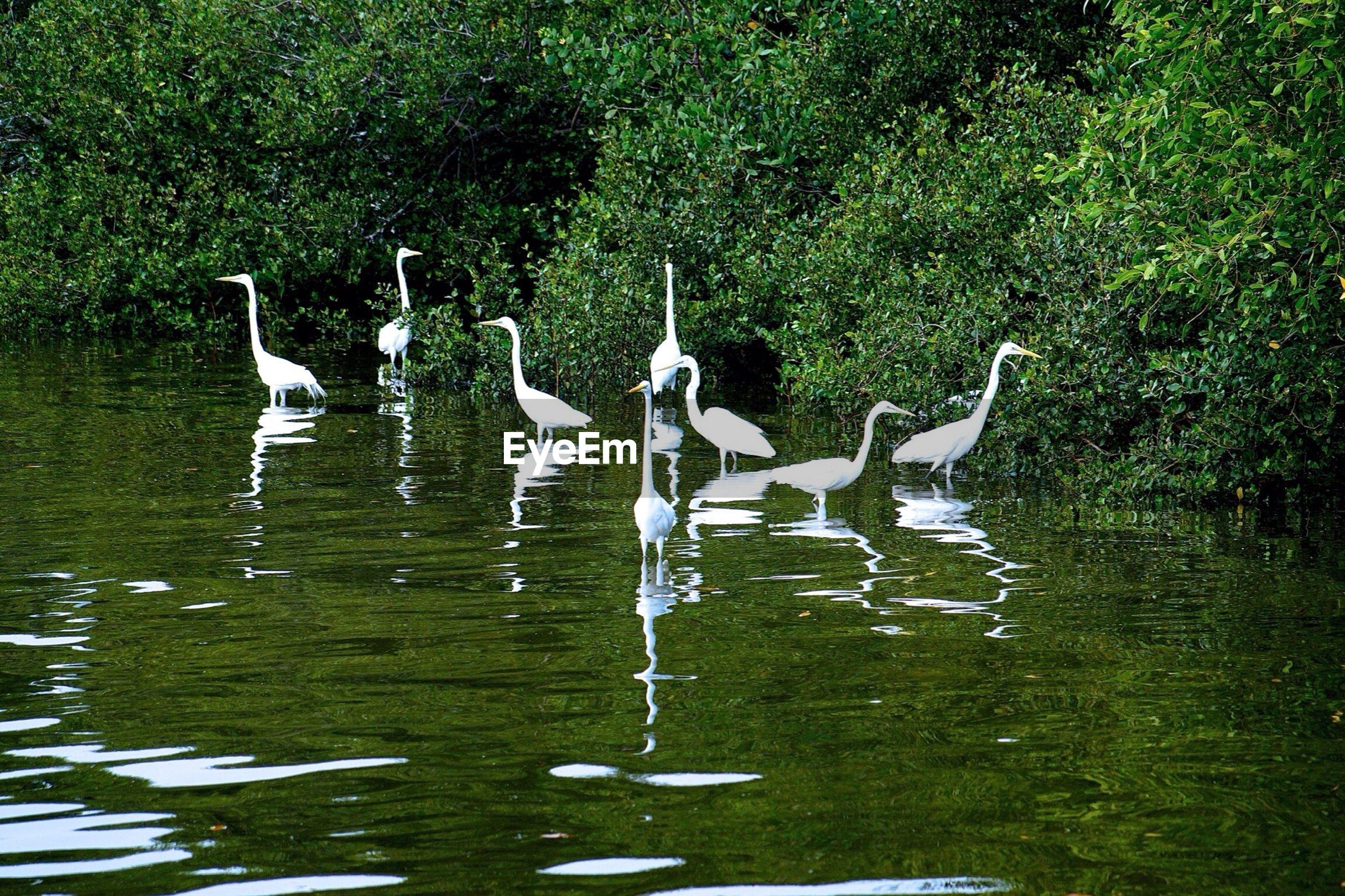 White egrets in lake