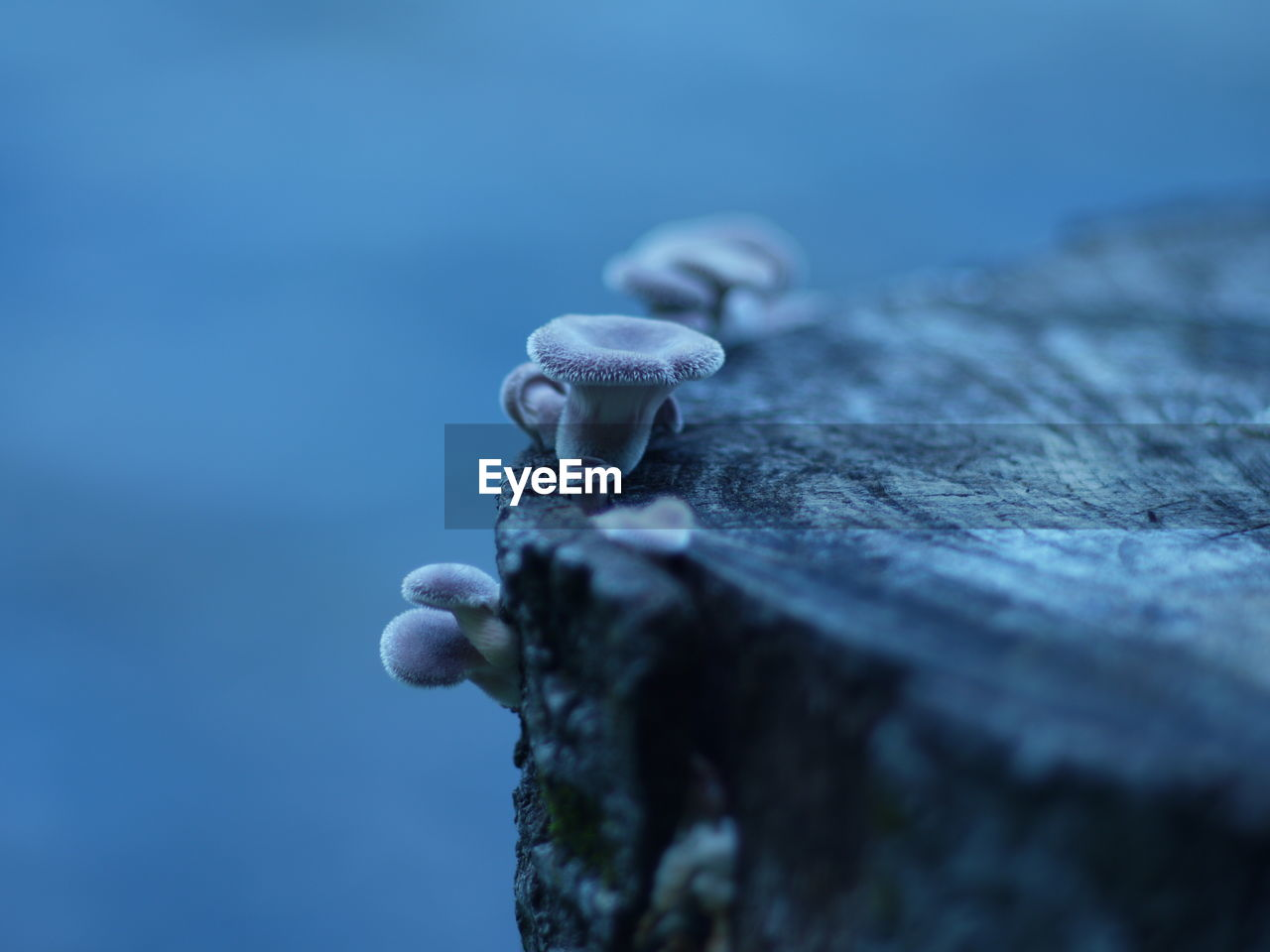 Close-Up Of Mushrooms On Tree Stump