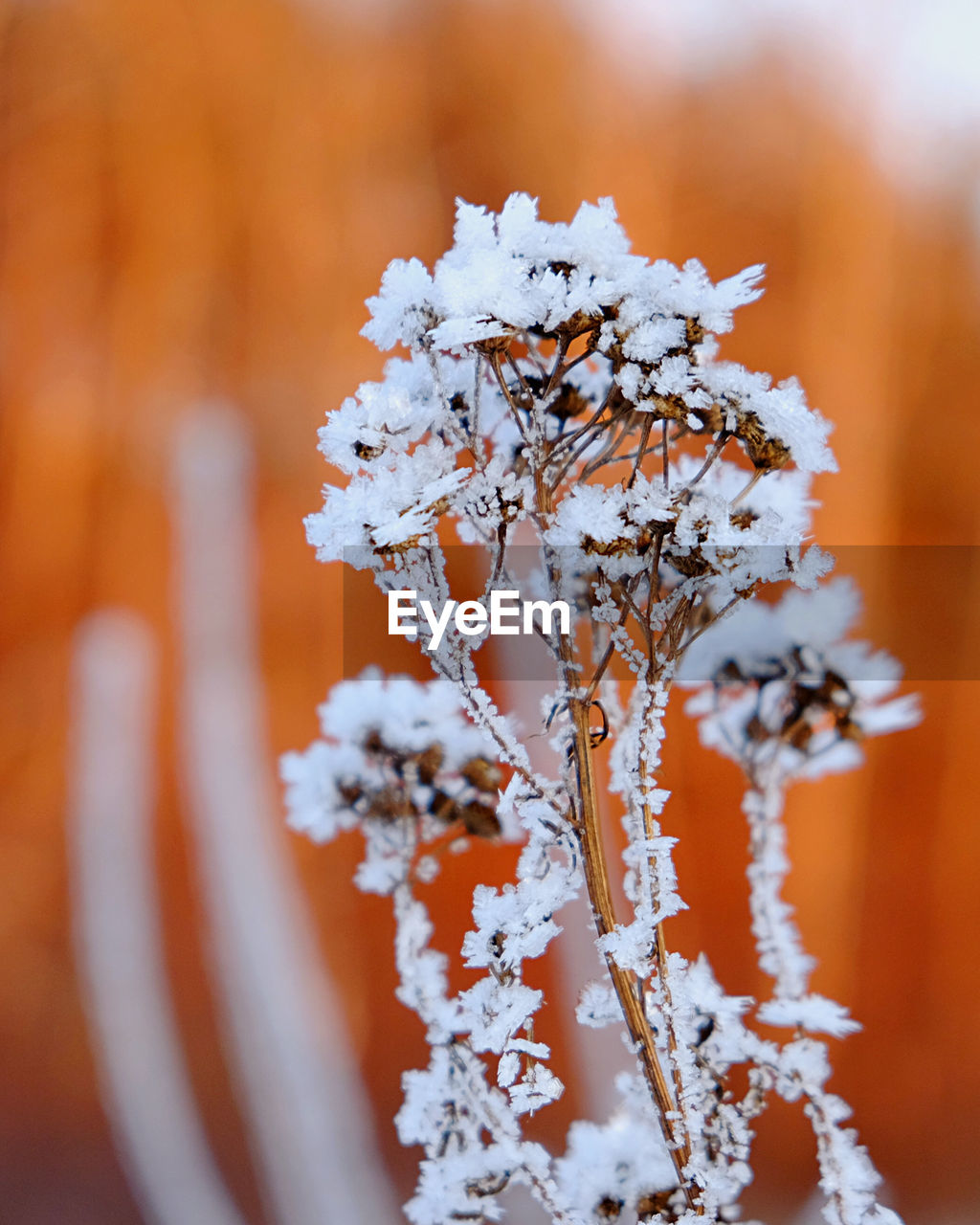 CLOSE-UP OF SNOW COVERED PLANT DURING WINTER
