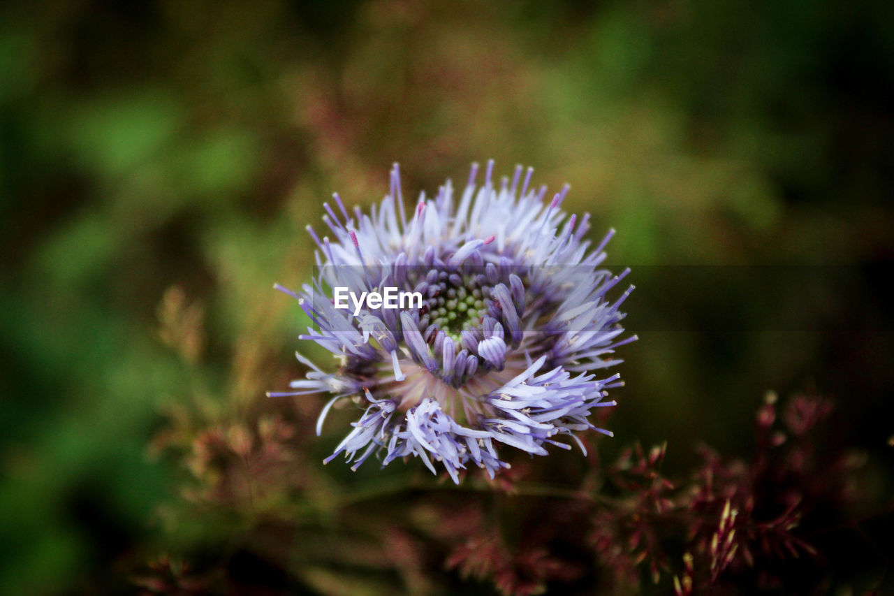 flower, flowering plant, beauty in nature, plant, growth, inflorescence, freshness, vulnerability, fragility, petal, flower head, nature, close-up, outdoors, no people, day, purple, focus on foreground, selective focus, positive emotion