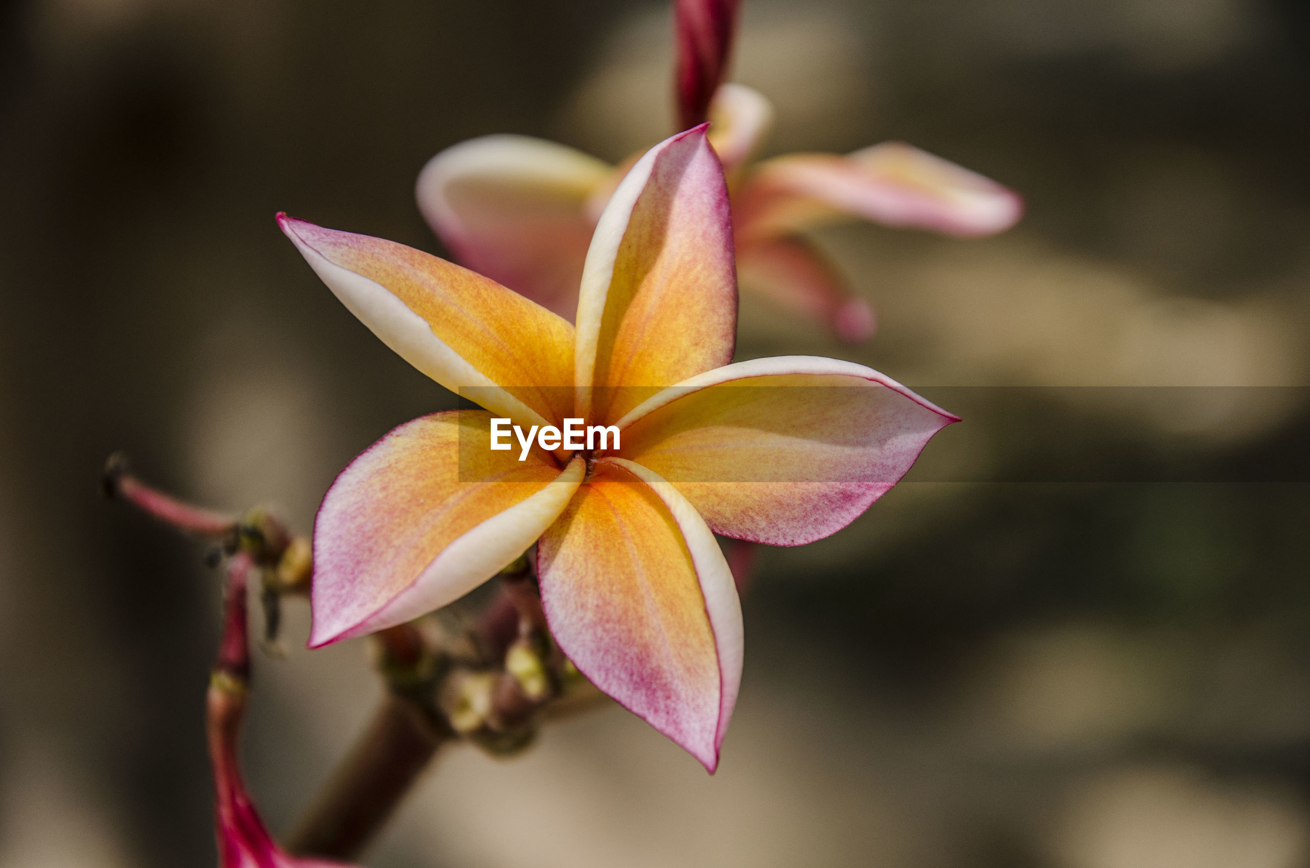 Close-up of pink magnolia on plant