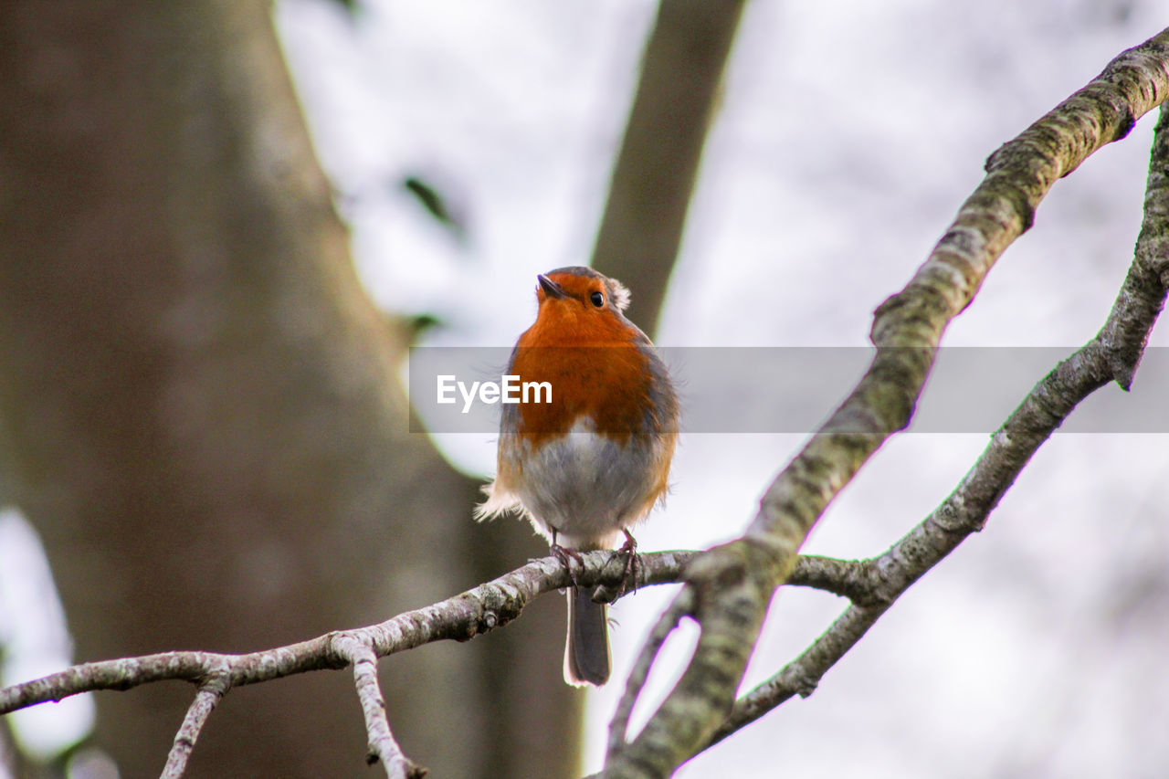 bird, animal themes, animal, vertebrate, perching, animal wildlife, animals in the wild, branch, one animal, tree, focus on foreground, robin, plant, day, songbird, nature, no people, outdoors, beauty in nature, close-up