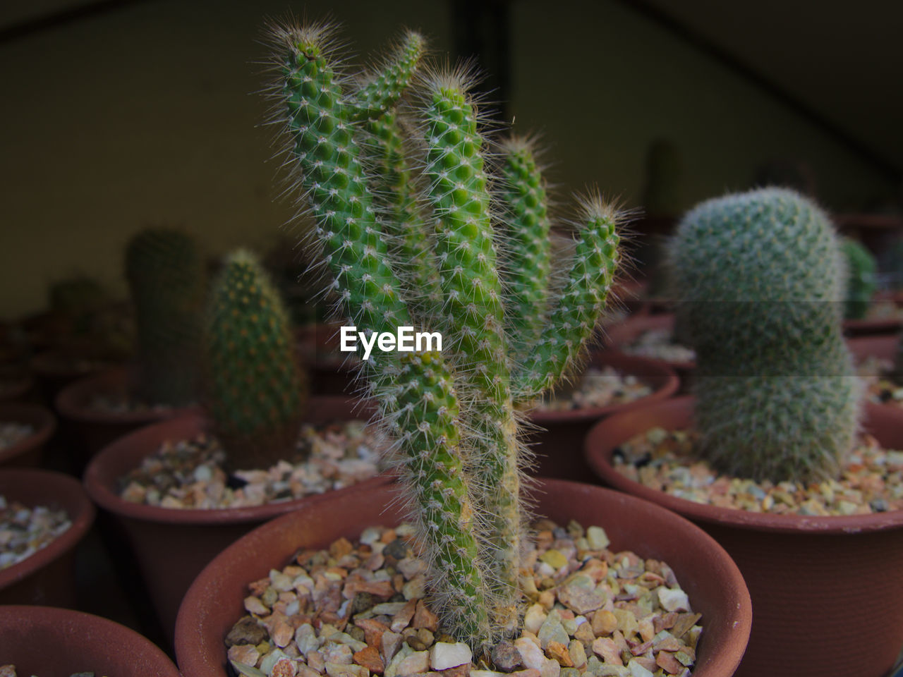 cactus, succulent plant, potted plant, growth, green color, close-up, no people, plant, thorn, focus on foreground, indoors, nature, spiked, day, beauty in nature, natural pattern, sharp, botany, selective focus, houseplant