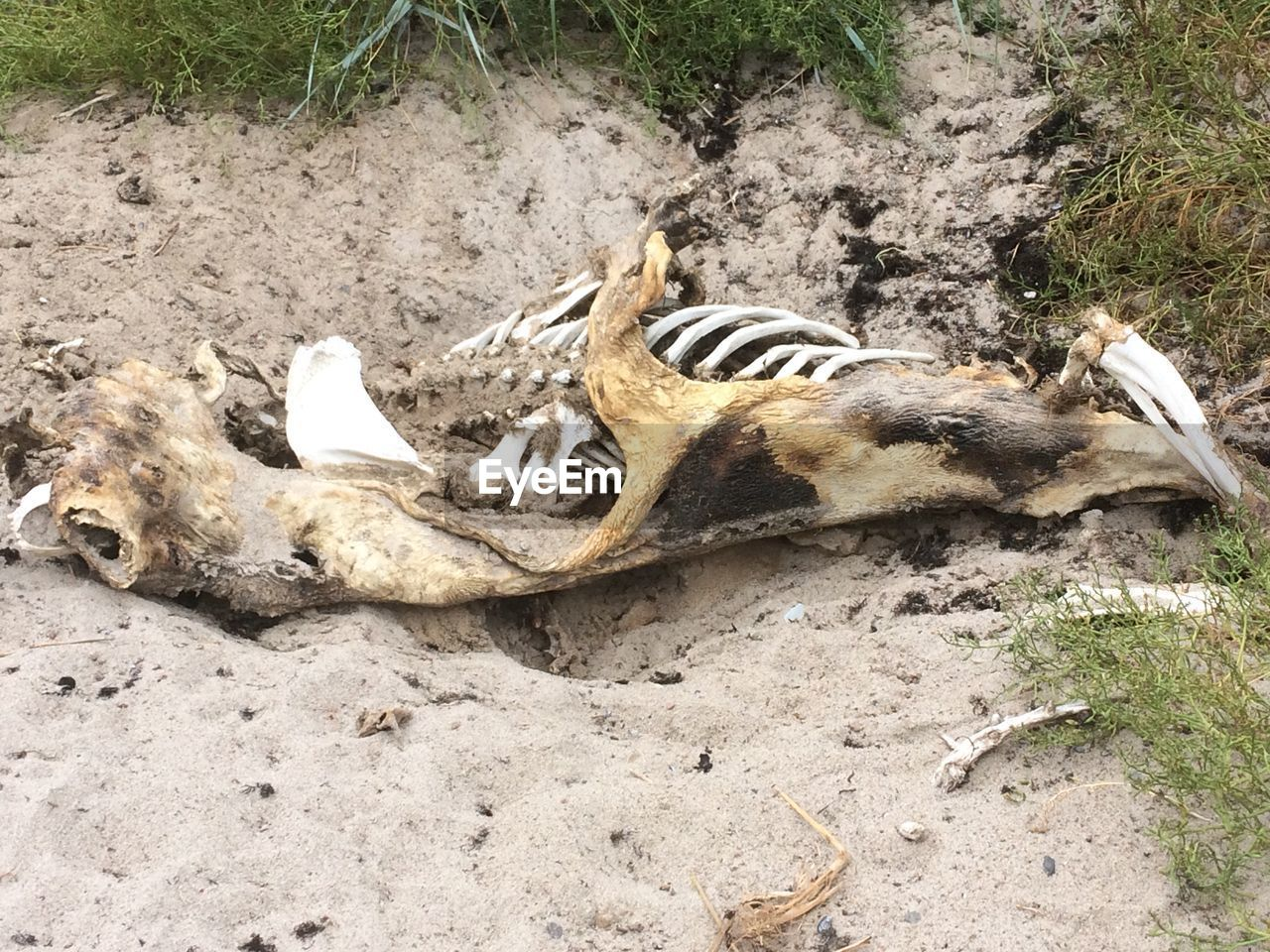 animal, animal themes, animals in the wild, animal wildlife, vertebrate, land, no people, nature, one animal, day, mammal, high angle view, relaxation, field, dirt, outdoors, bone, lying down