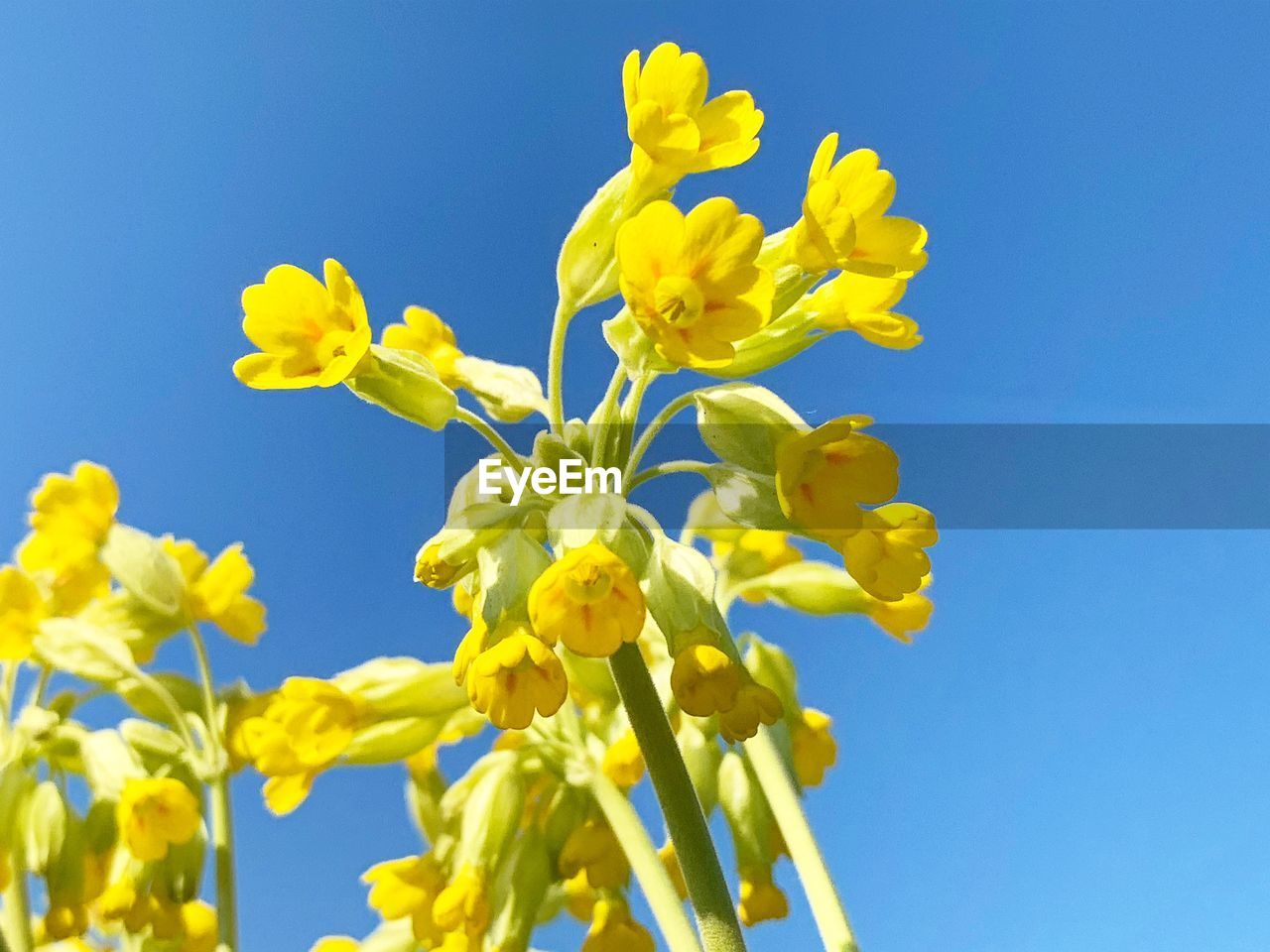 flower, flowering plant, yellow, beauty in nature, vulnerability, fragility, blue, sky, plant, freshness, growth, nature, clear sky, close-up, petal, low angle view, flower head, no people, day, inflorescence, springtime, outdoors, blue background