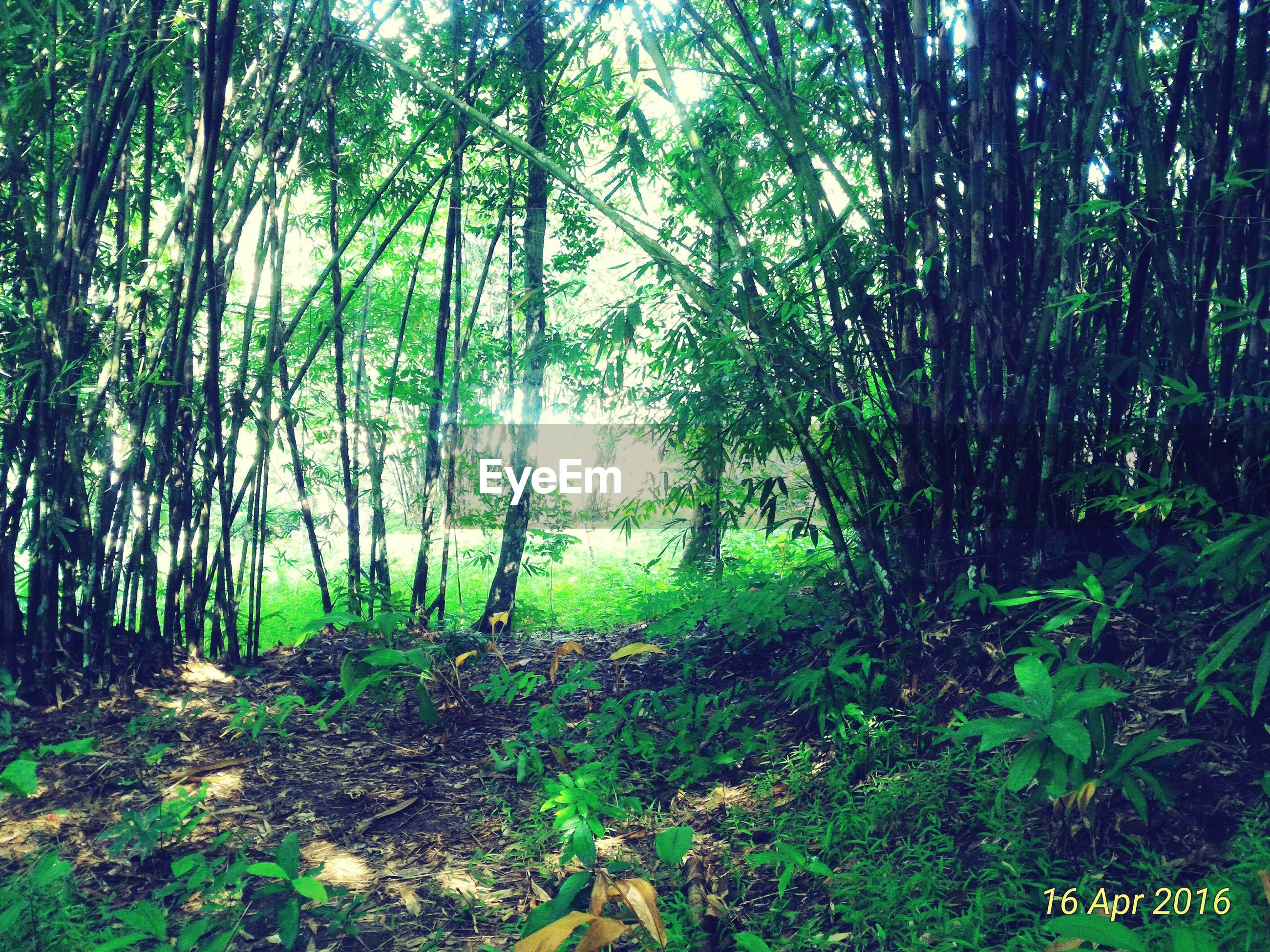 forest, tree, land, plant, tranquility, nature, beauty in nature, green color, day, woodland, growth, no people, tranquil scene, environment, scenics - nature, landscape, outdoors, non-urban scene, green, direction, bamboo - plant