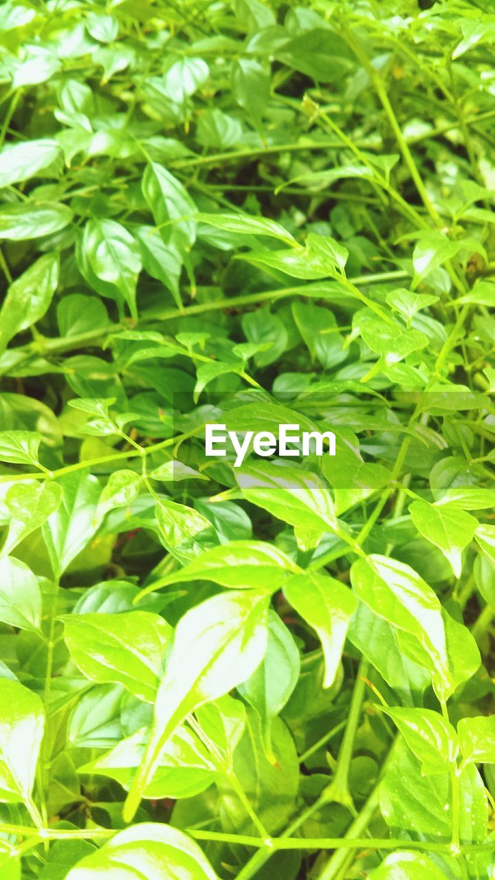 green color, leaf, growth, plant, nature, day, no people, outdoors, freshness, close-up, grass, backgrounds, beauty in nature