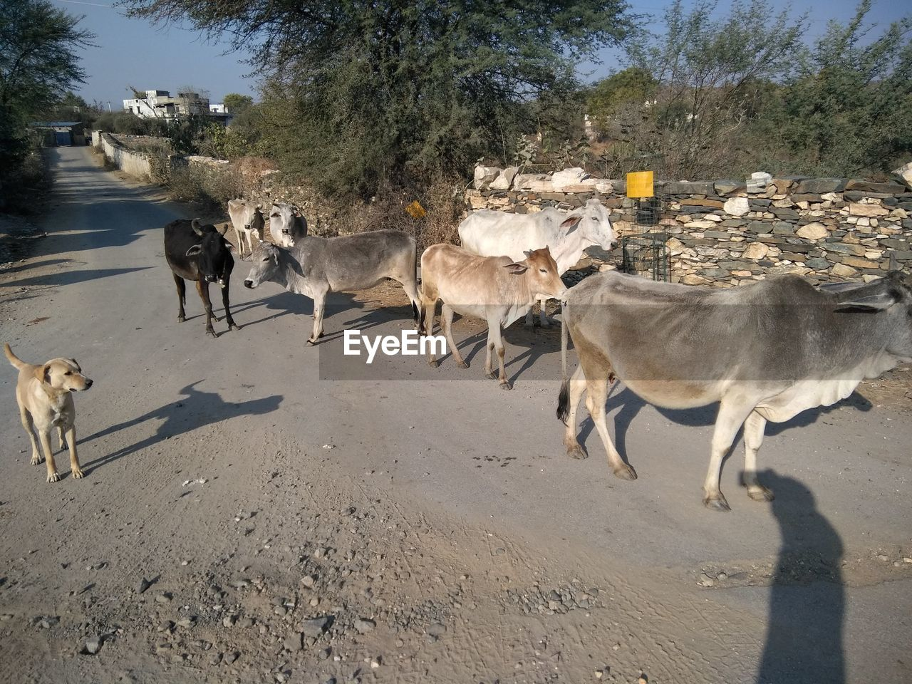 mammal, domestic animals, animal themes, animal, group of animals, domestic, pets, vertebrate, sunlight, nature, road, livestock, shadow, day, tree, cattle, no people, land, large group of animals, walking, herd, outdoors, herbivorous