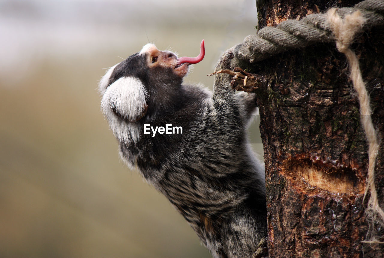 animal, animal themes, one animal, animal wildlife, animals in the wild, vertebrate, focus on foreground, no people, mammal, tree, primate, close-up, day, monkey, bird, nature, tree trunk, trunk, outdoors, plant, mouth open