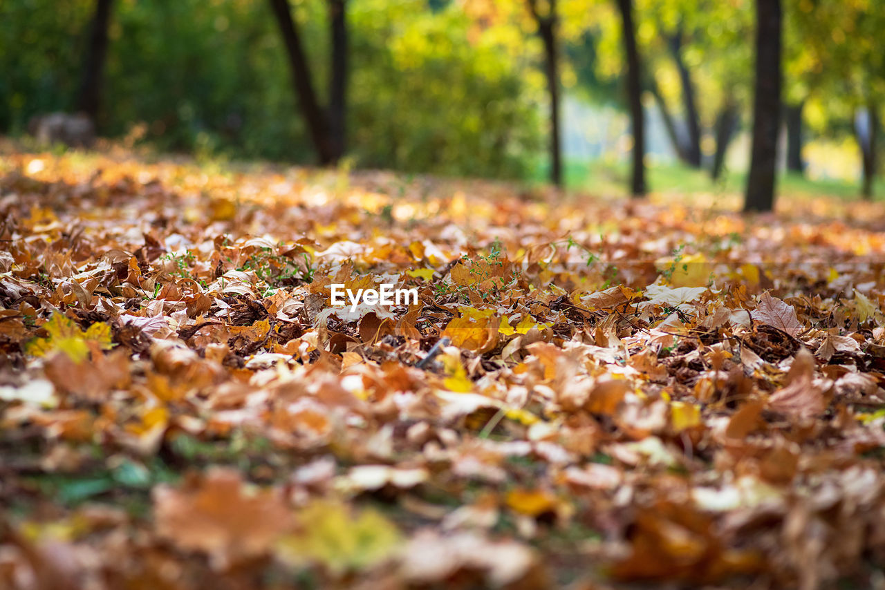 autumn, tree, leaf, change, plant part, plant, leaves, land, selective focus, nature, falling, beauty in nature, dry, no people, day, orange color, tranquility, field, yellow, surface level, outdoors, fall, natural condition, maple leaf, autumn collection