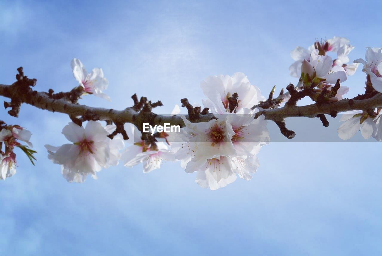 flower, fragility, blossom, cherry blossom, white color, beauty in nature, springtime, tree, apple blossom, nature, apple tree, cherry tree, almond tree, growth, freshness, branch, low angle view, orchard, botany, petal, sky, flower head, stamen, twig, no people, day, pollen, plum blossom, cloud - sky, outdoors, close-up, blooming