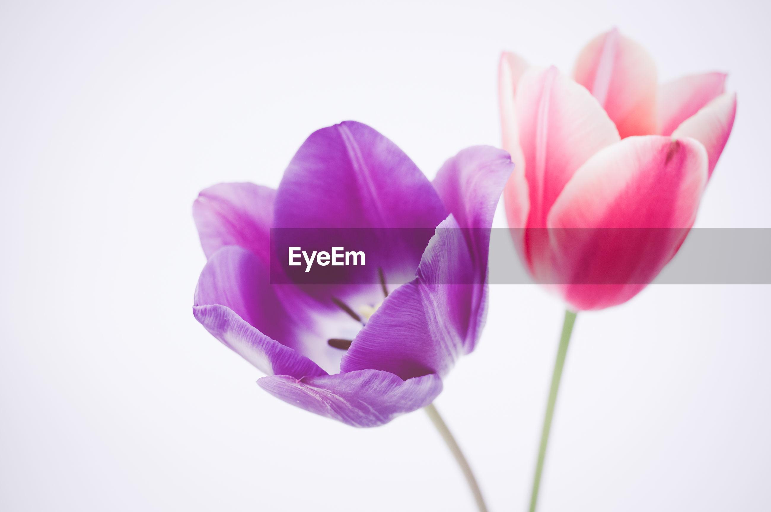 Close-up of tulip flower
