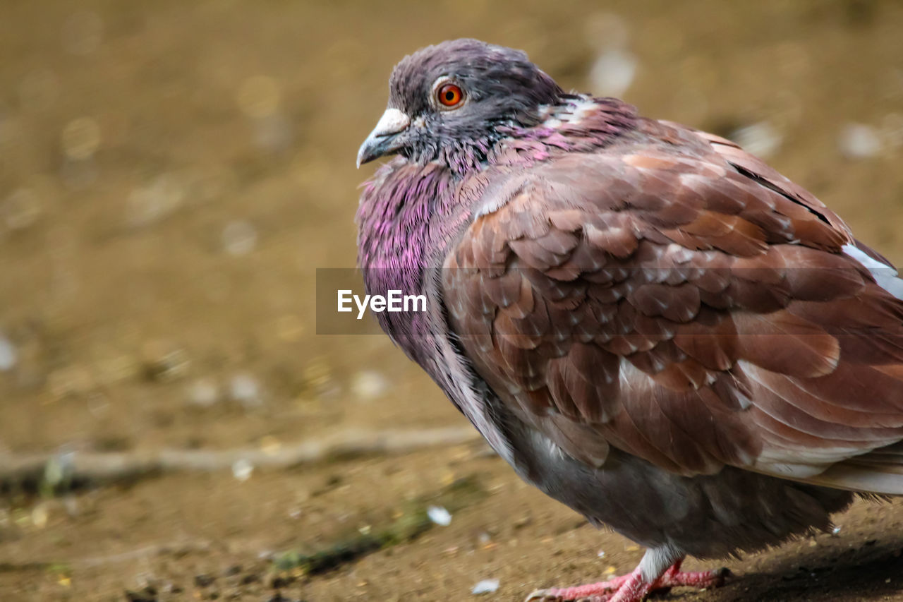 bird, animal themes, animal, one animal, animal wildlife, animals in the wild, vertebrate, close-up, focus on foreground, day, nature, no people, bird of prey, looking away, looking, outdoors, water, beak, land, feather
