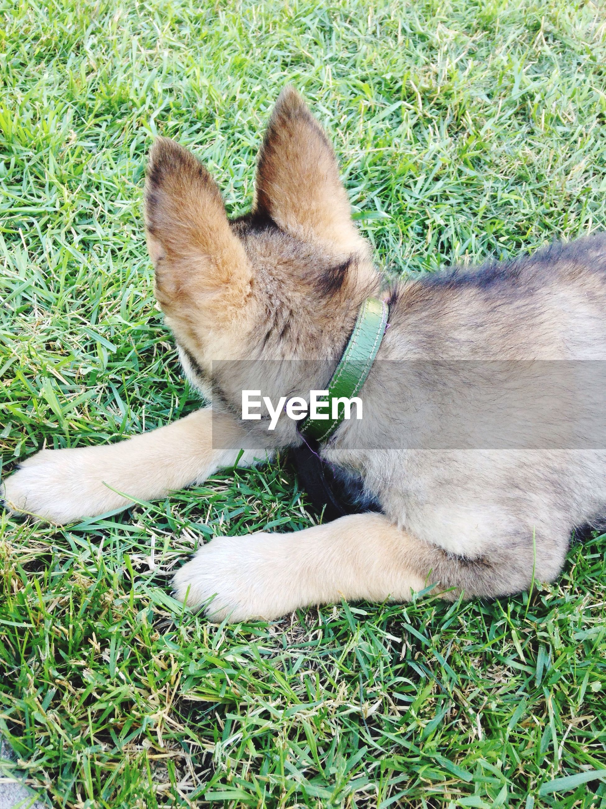 High angle view of puppy resting on grassy field