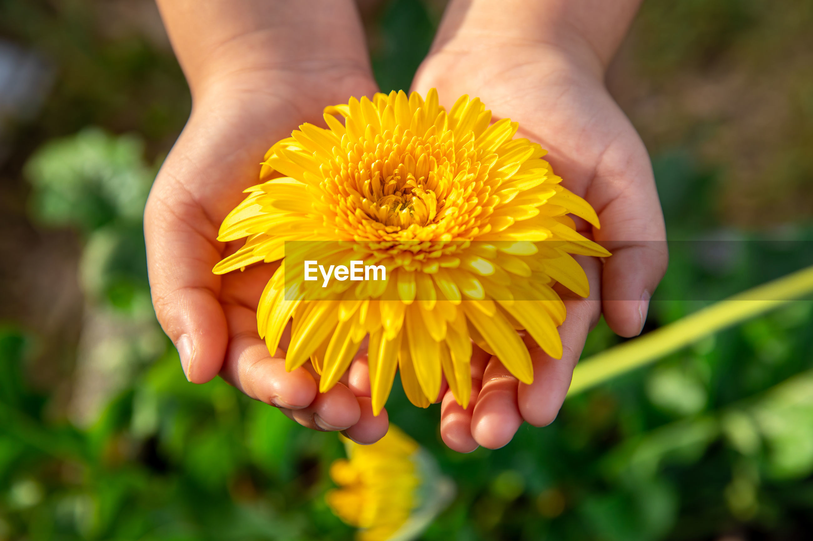 CLOSE-UP OF PERSON HOLDING YELLOW FLOWER
