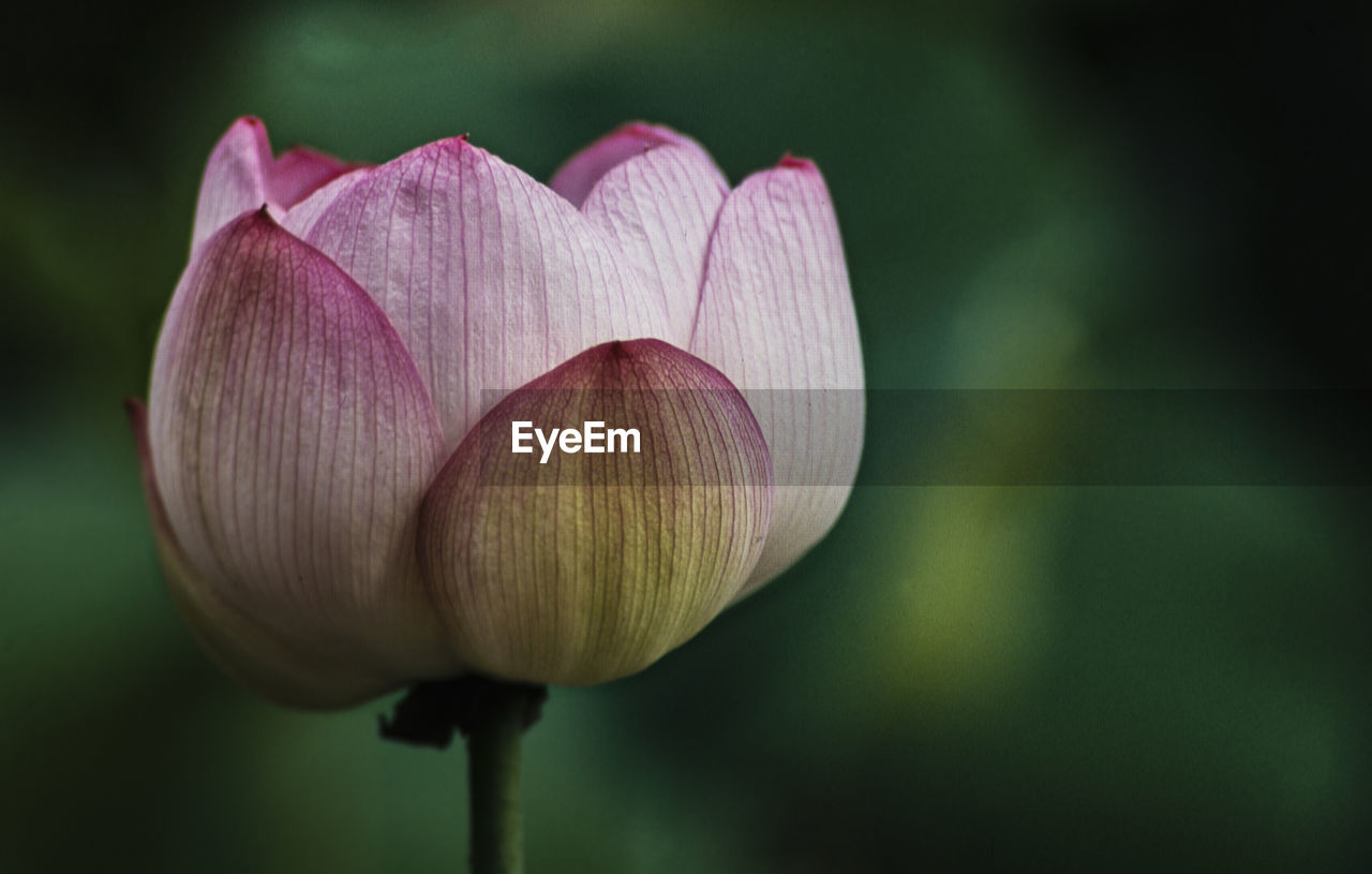 flower, vulnerability, flowering plant, fragility, freshness, close-up, petal, beauty in nature, plant, pink color, inflorescence, flower head, growth, focus on foreground, plant stem, nature, no people, lotus water lily, water lily, tulip, outdoors