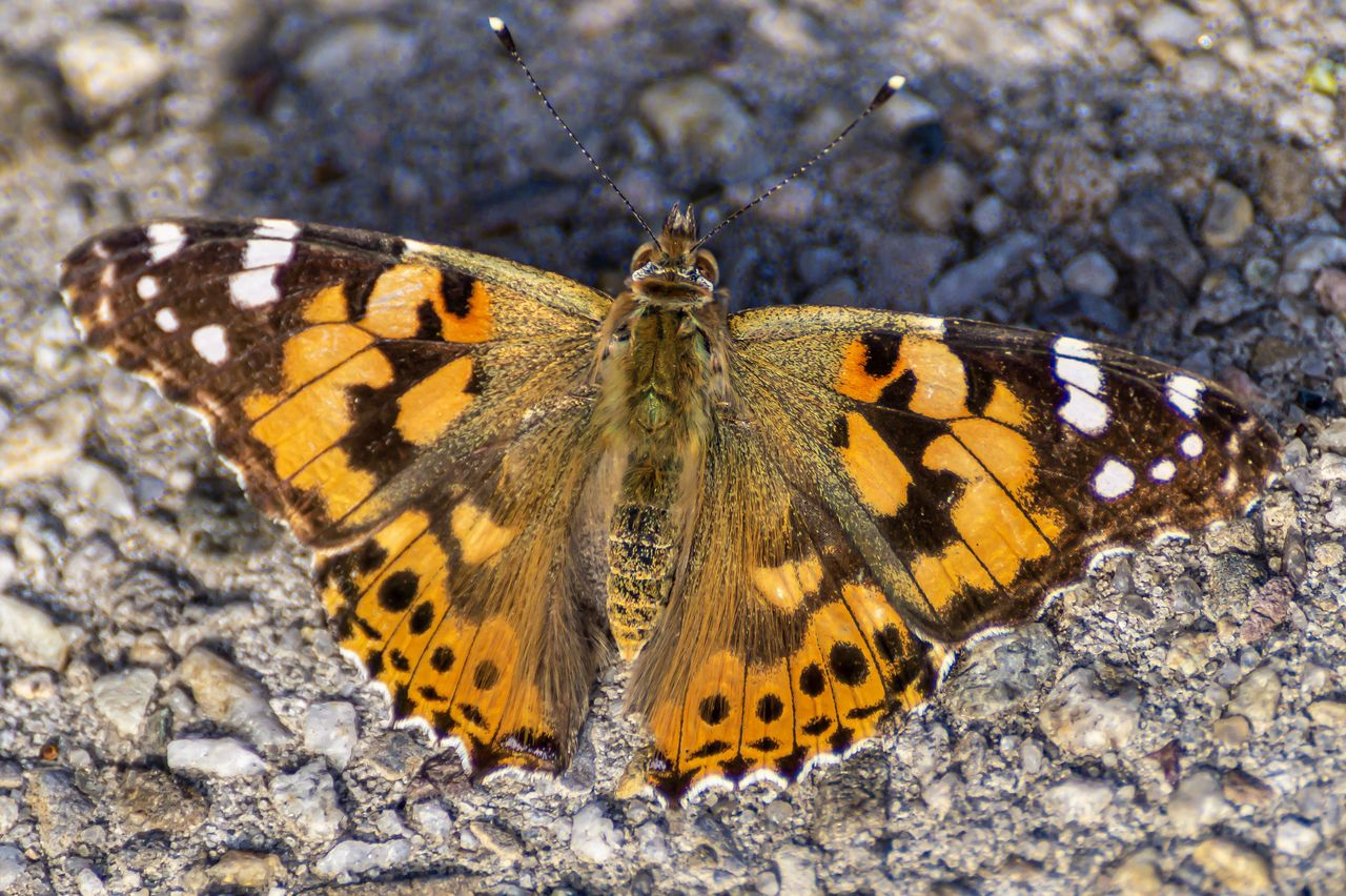 animal wildlife, invertebrate, insect, animal themes, animal wing, animal, one animal, butterfly - insect, animals in the wild, beauty in nature, nature, animal markings, close-up, flower, butterfly, no people, day, natural pattern, animal body part, solid, outdoors