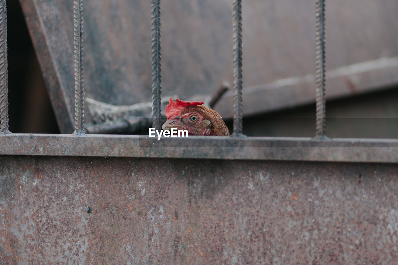 Close-Up Of Hen Peeking From Cage
