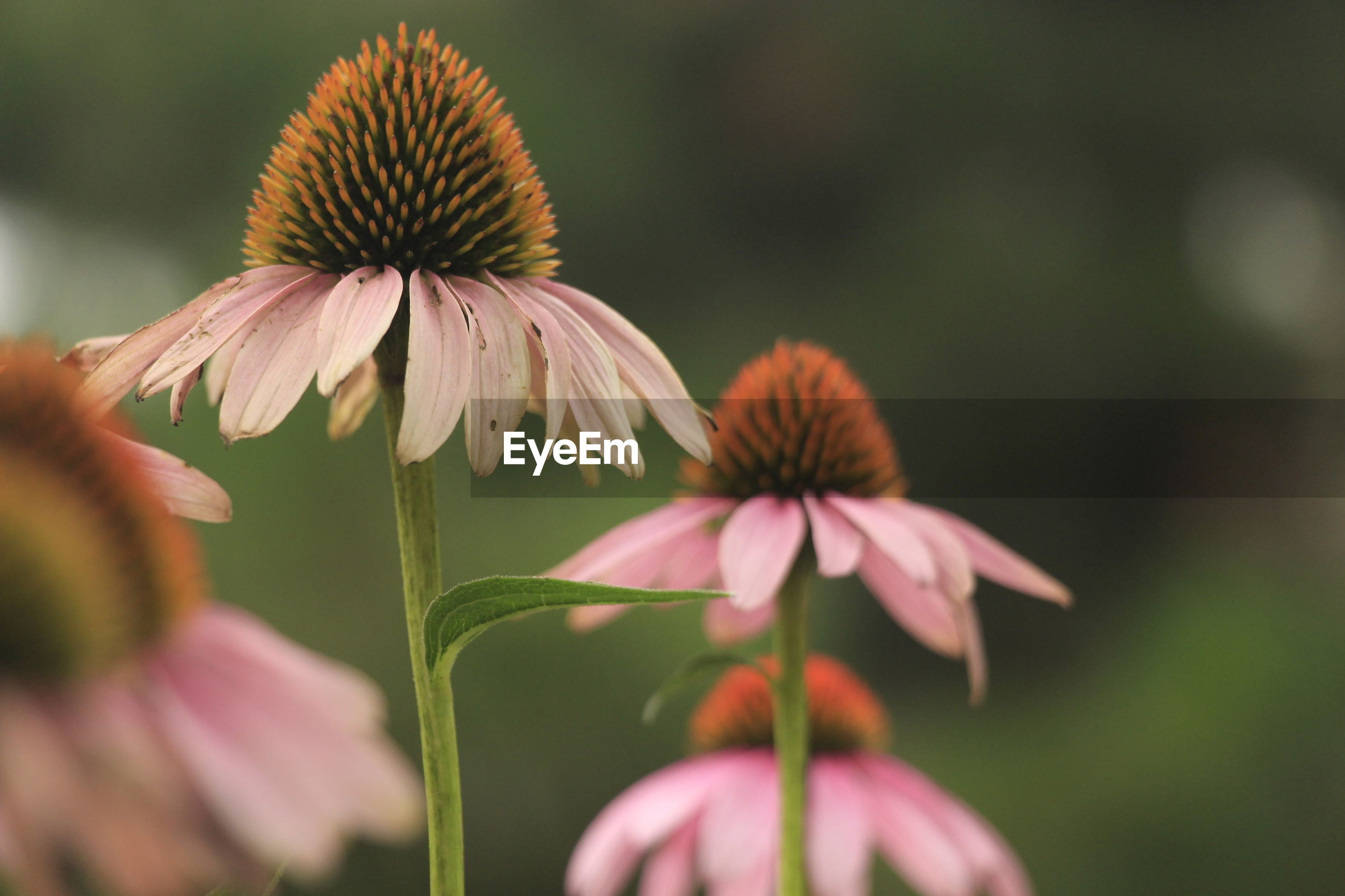 Close-up of eastern purple coneflowers growing outdoors