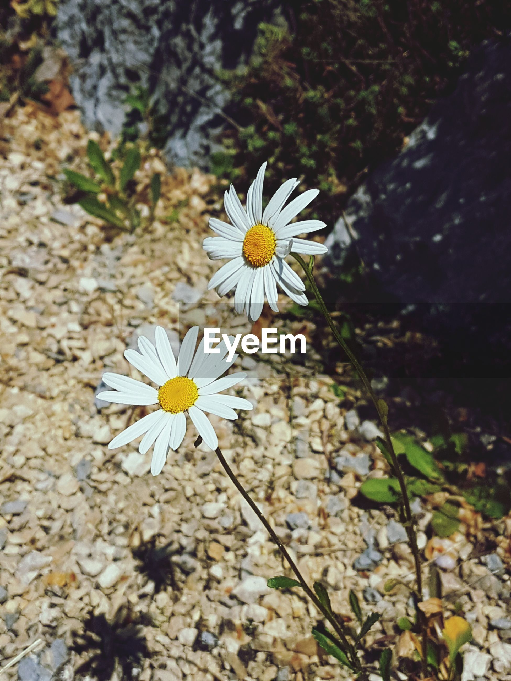 flower, fragility, beauty in nature, nature, flower head, freshness, growth, petal, pollen, daisy, blooming, outdoors, plant, no people, blossom, day, close-up