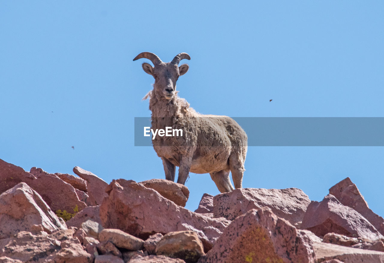 animal themes, animal, sky, clear sky, one animal, rock, rock - object, solid, vertebrate, nature, mammal, animal wildlife, copy space, animals in the wild, standing, domestic animals, low angle view, day, livestock, mountain, no people, herbivorous