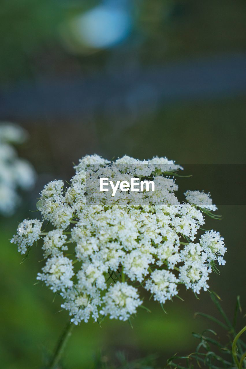 Close-Up Of Cow Parsnip Flowers Blooming Outdoors