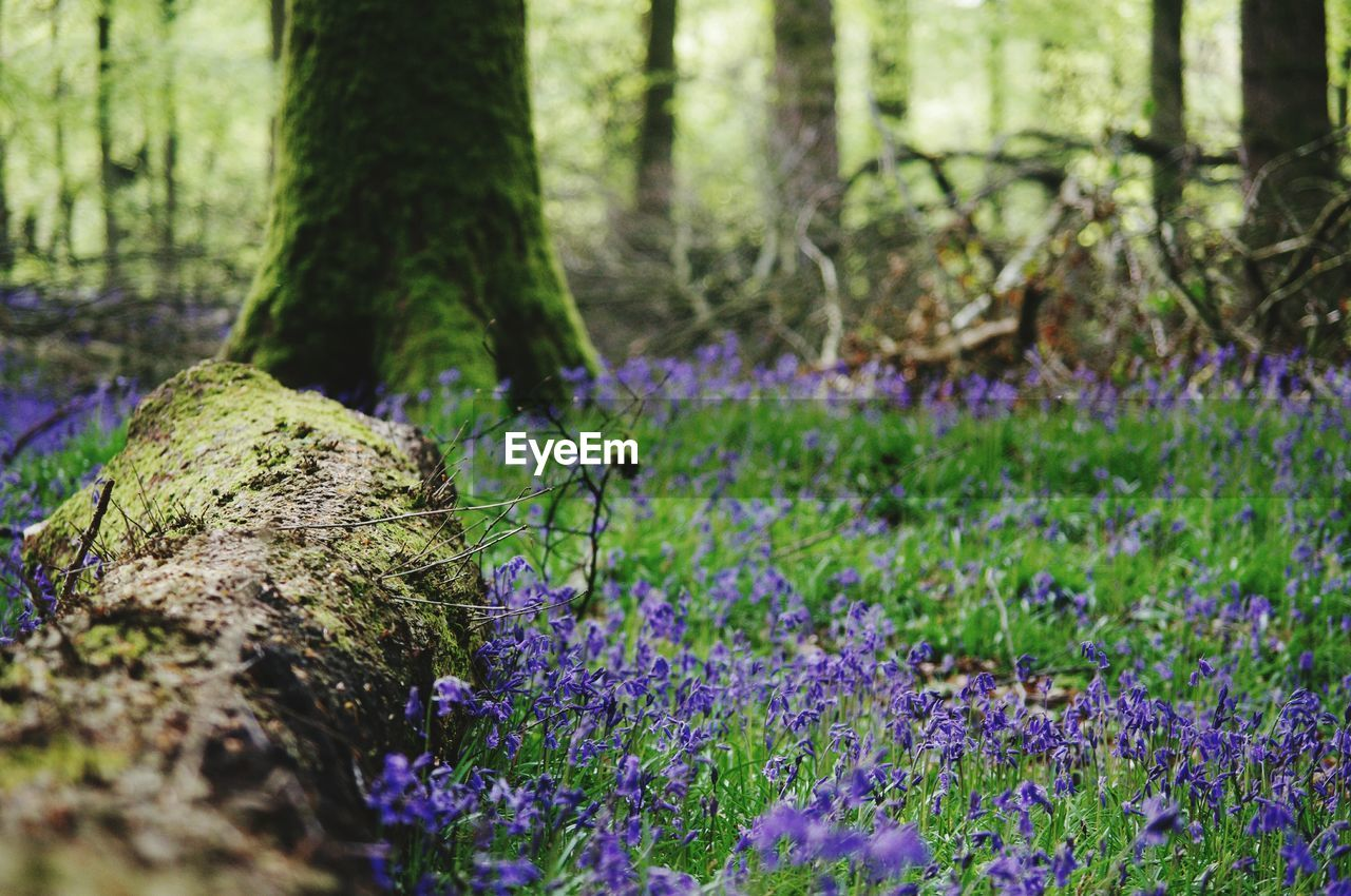 nature, growth, tree trunk, flower, beauty in nature, no people, outdoors, day, plant, purple, tranquility, forest, fragility, tree, close-up, freshness