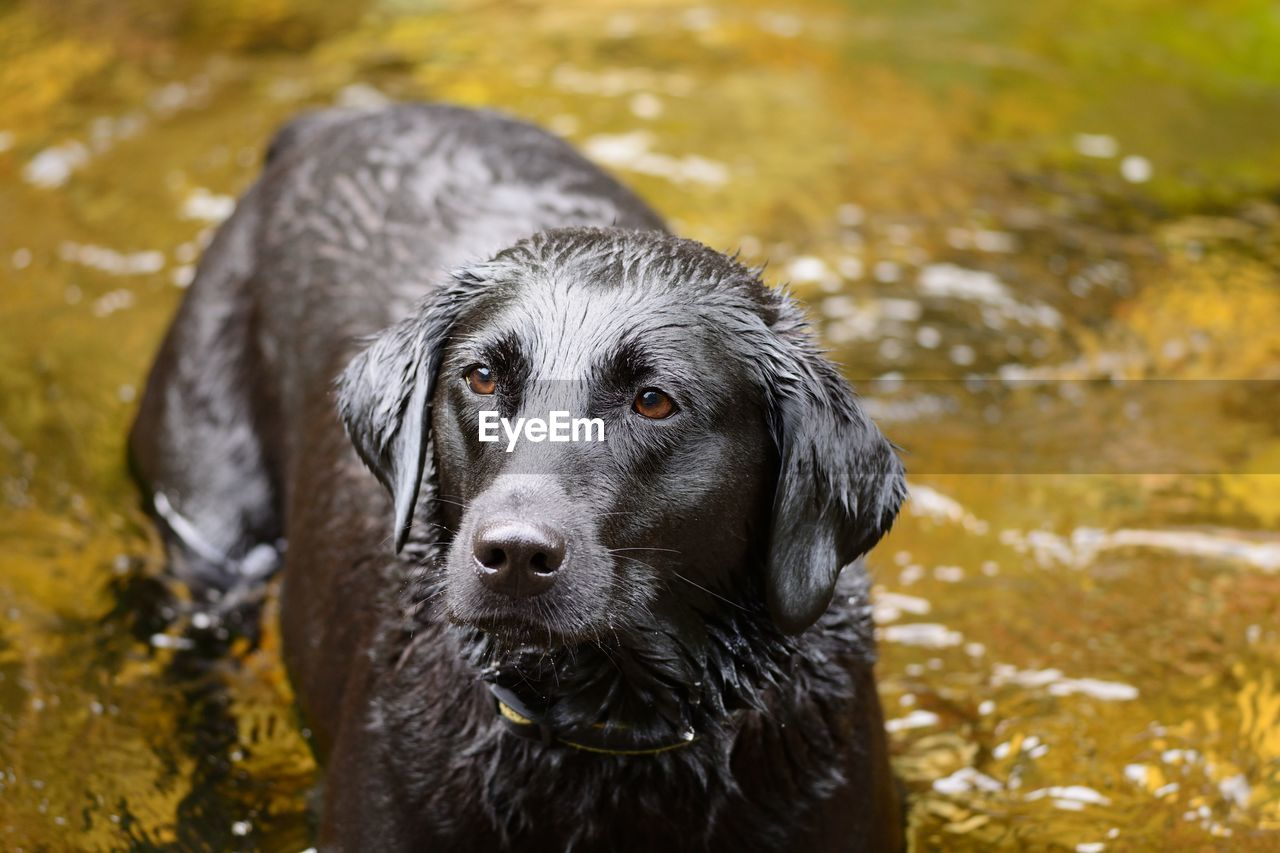 High Angle View Of Wet Dog In Lake
