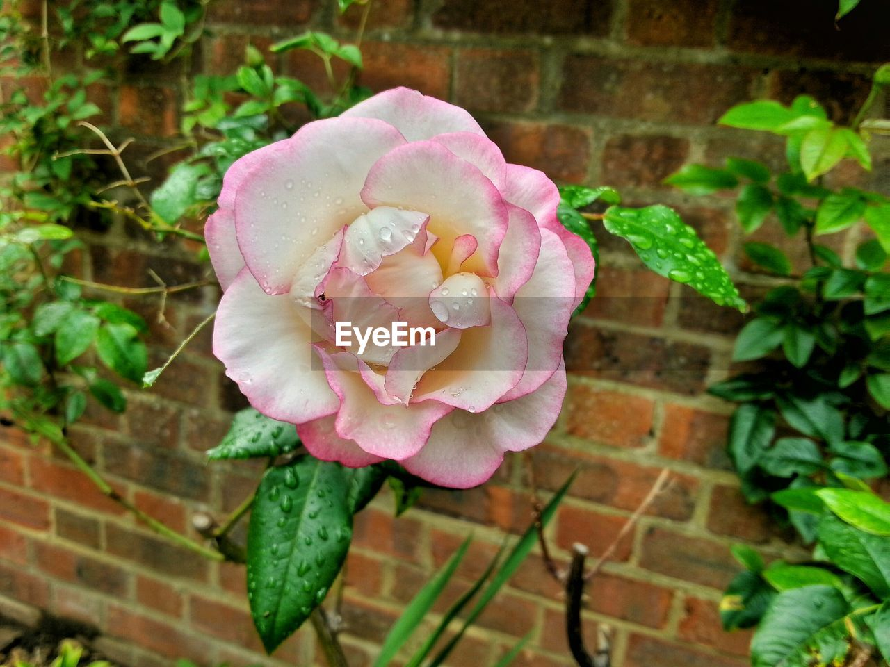 Close-up of pink rose blooming against brick wall